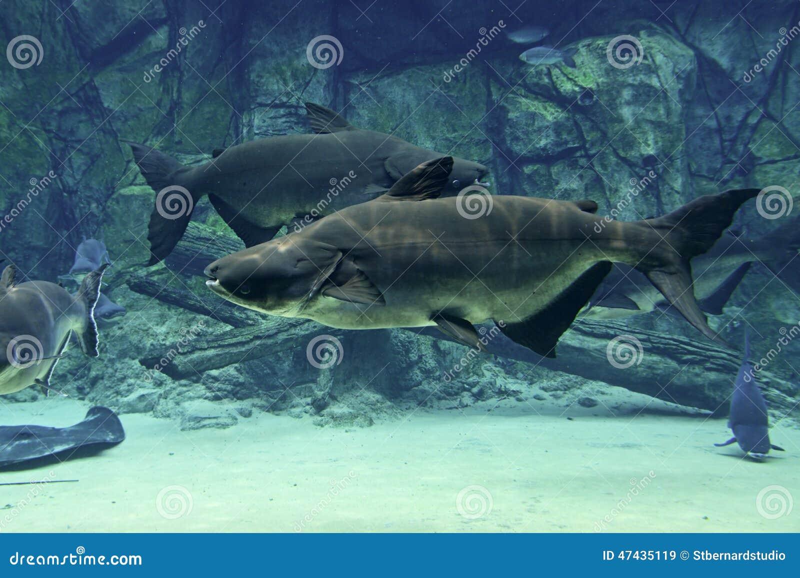 Um par de peixe-gato gigante de Mekong que nada firmemente no sentido oposto
