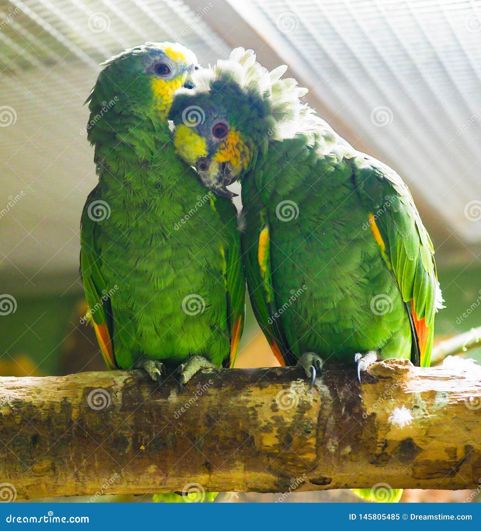 Um par do papagaio verde engraçado n