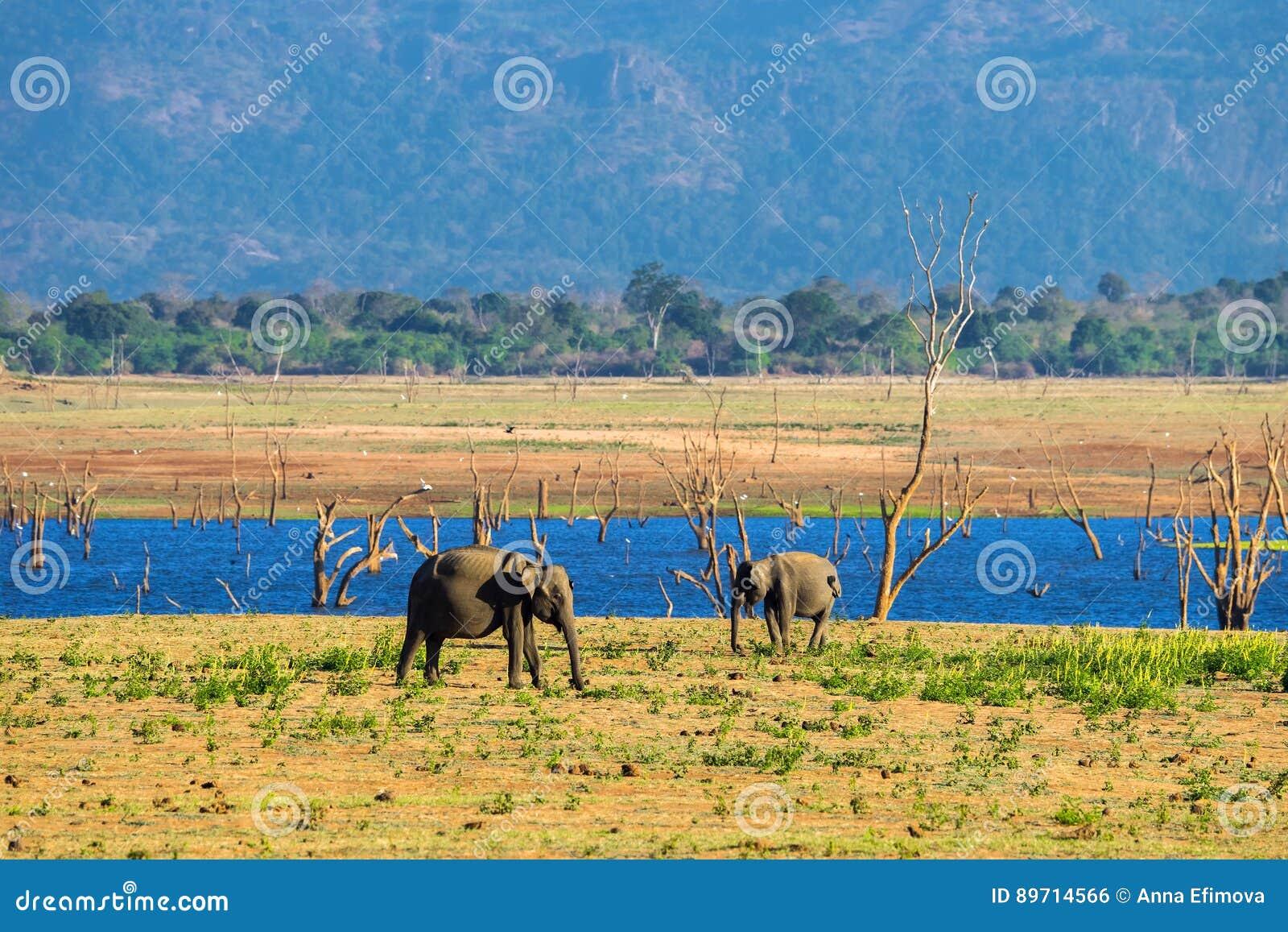 Um par elefantes asiáticos