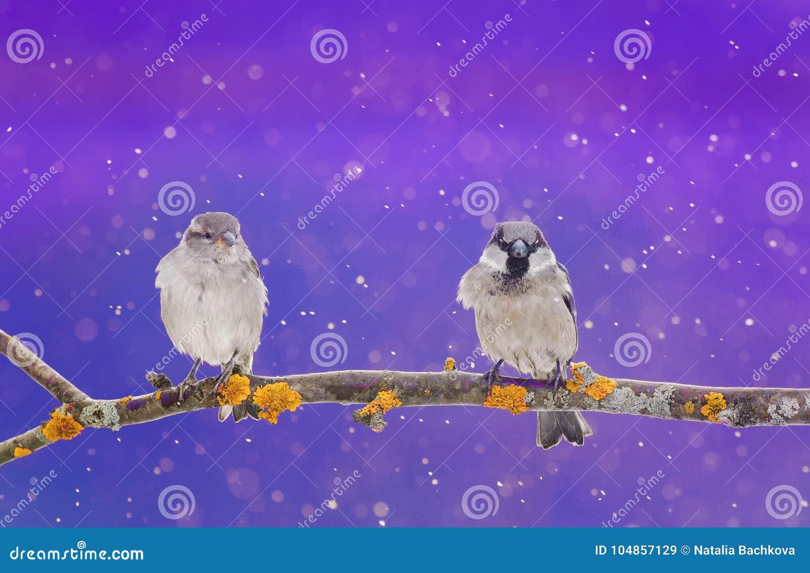 Um par pássaros pequenos bonitos que sentam-se em um ramo no inverno Chri