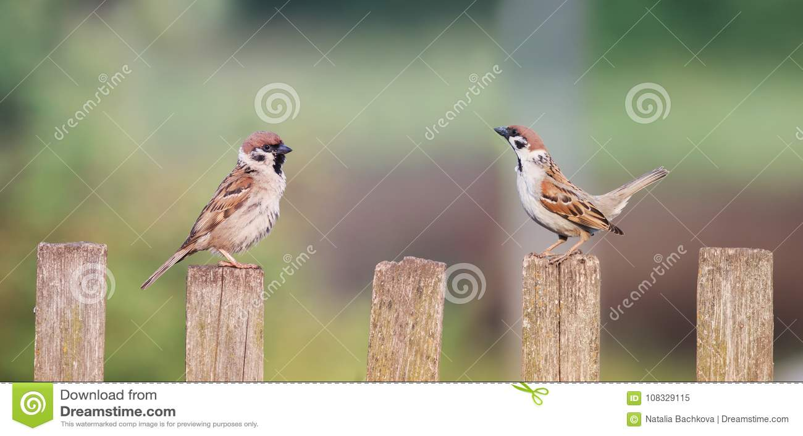 Um par pássaros pequenos que sentam-se em uma cerca de madeira velha ao lado de