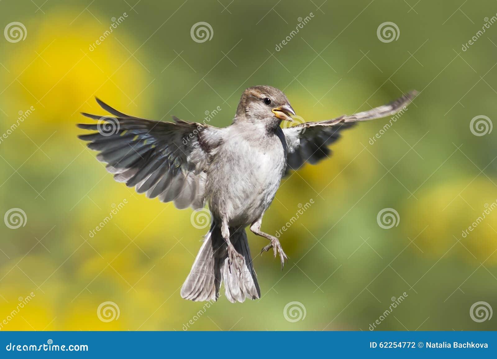 Um pardal vibra na perspectiva dos prados verdes
