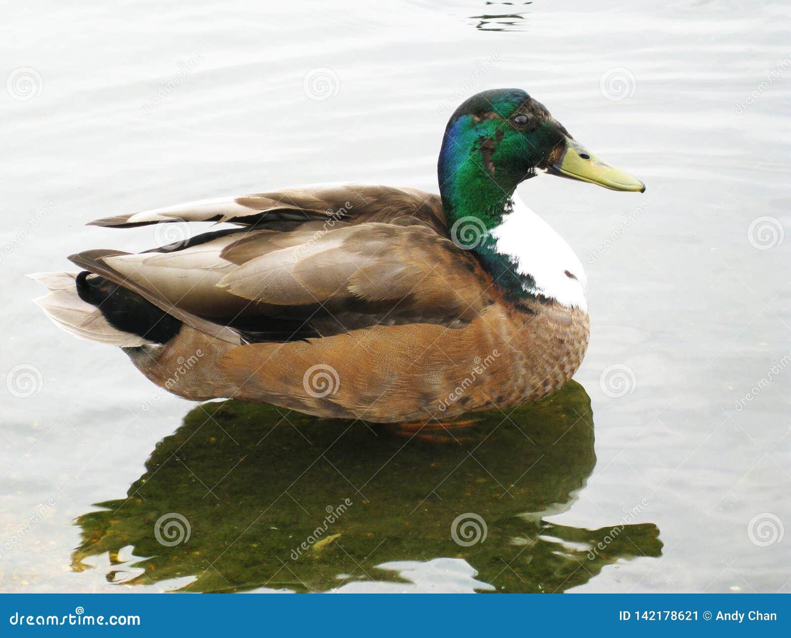 Um pato masculino do pato selvagem que nada calmamente ao redor na lagoa em Hyde Park ao apreciar a luz do sol britânica do verão