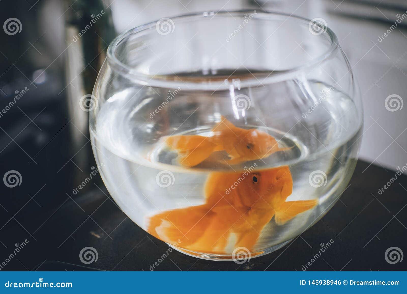 Um peixe dourado pequeno bonito