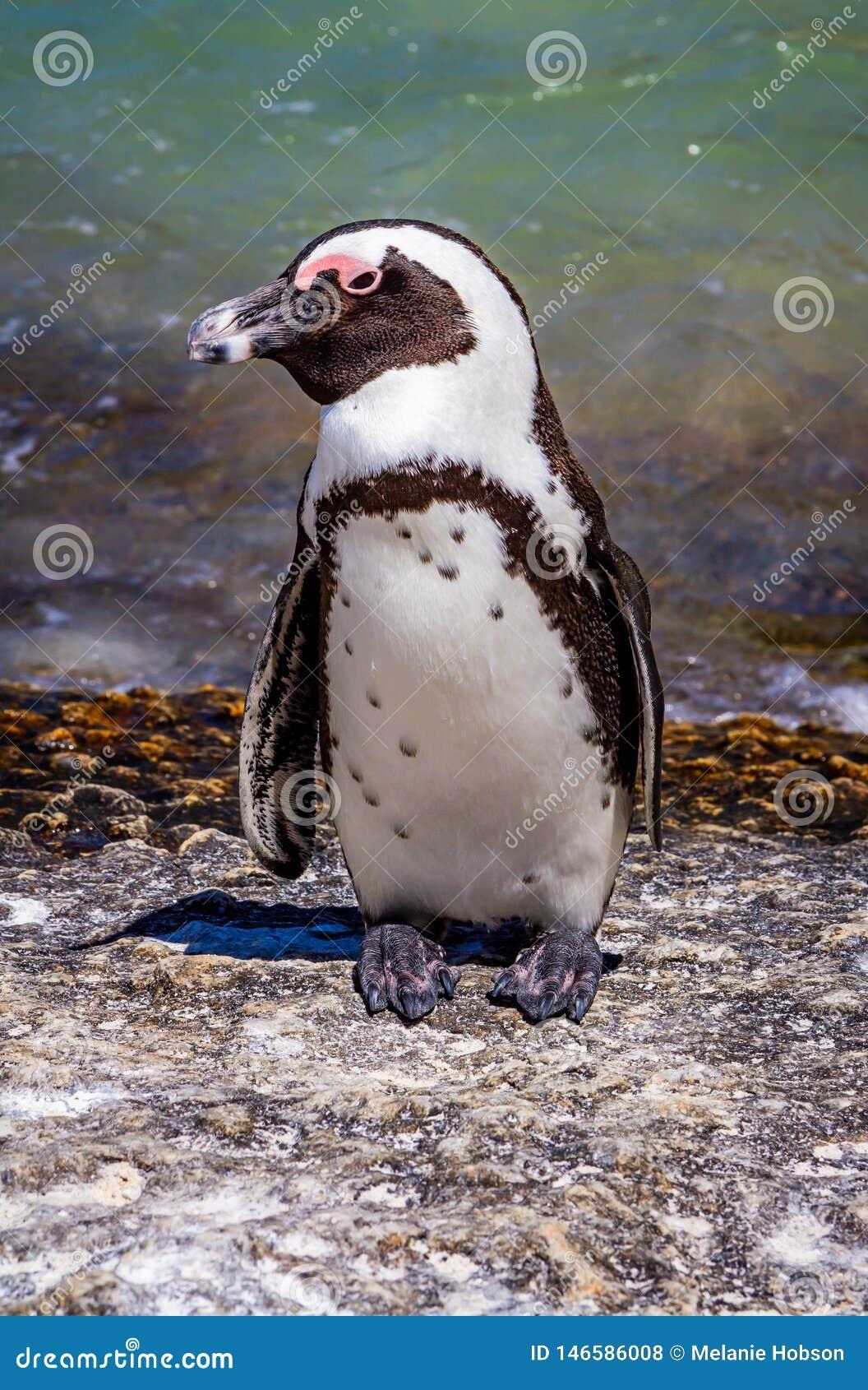 Um pinguim africano