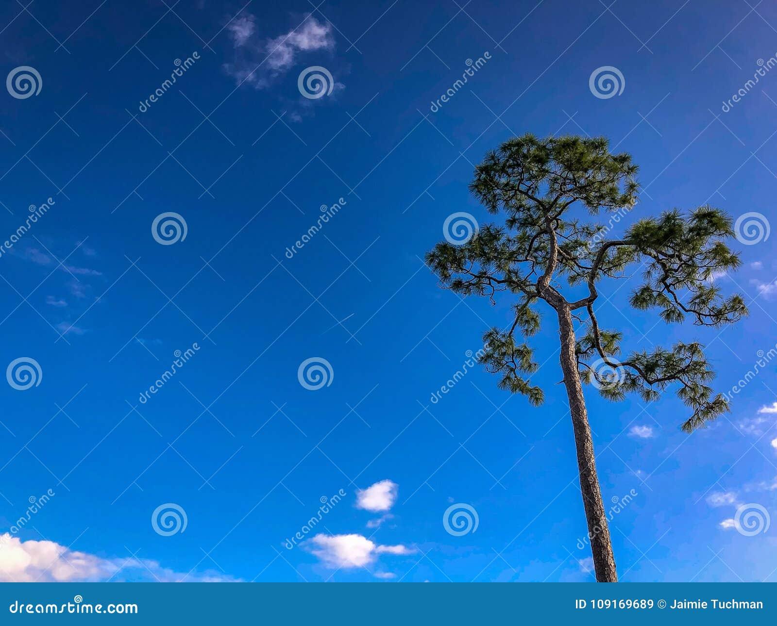 Um pinheiro alto