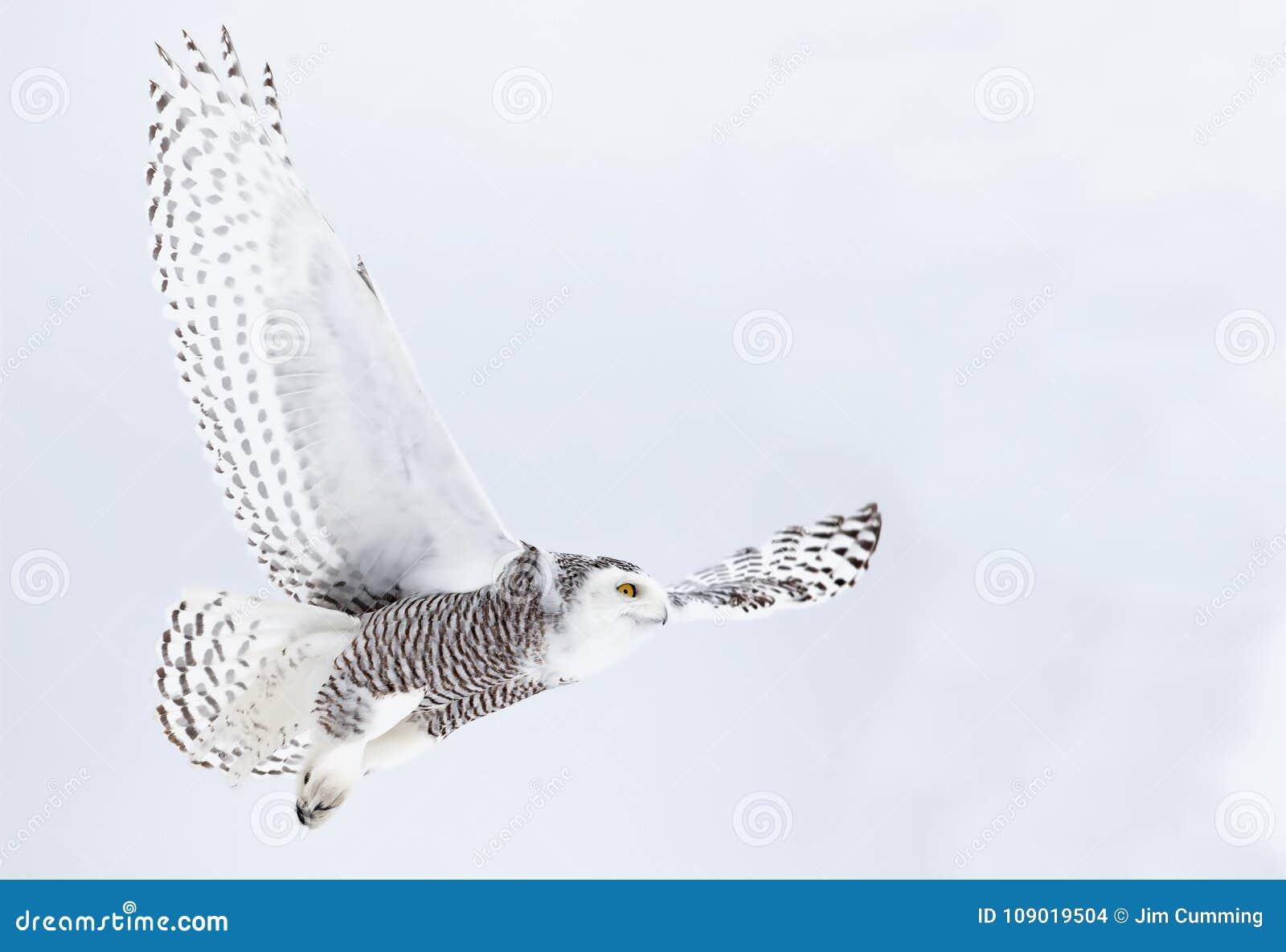 Um ponto baixo e uma caça nevado do voo do scandiacus do bubão da coruja sobre um campo coberto de neve em Canadá
