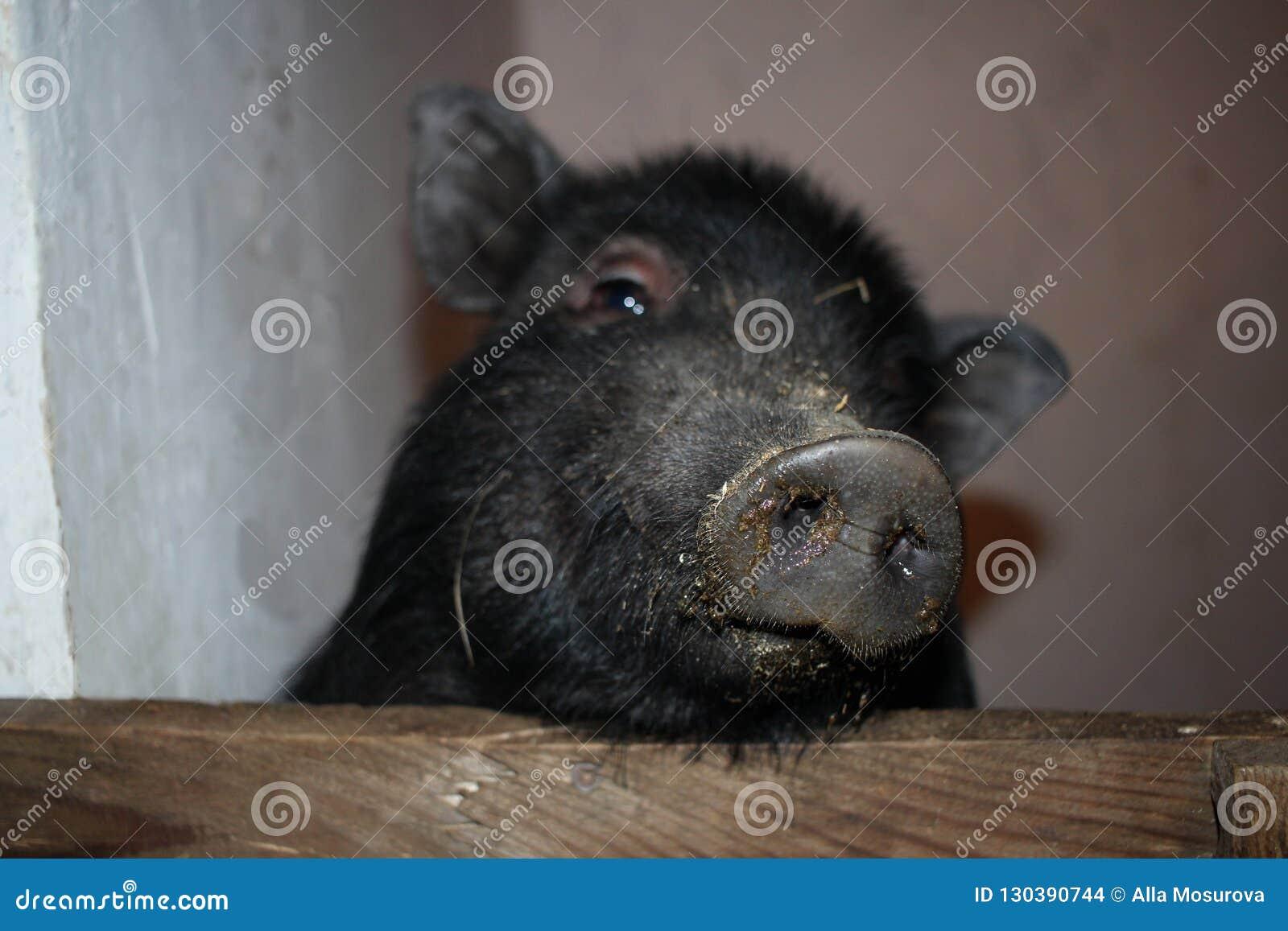 Um porco com um nariz sujo olha fora da pena