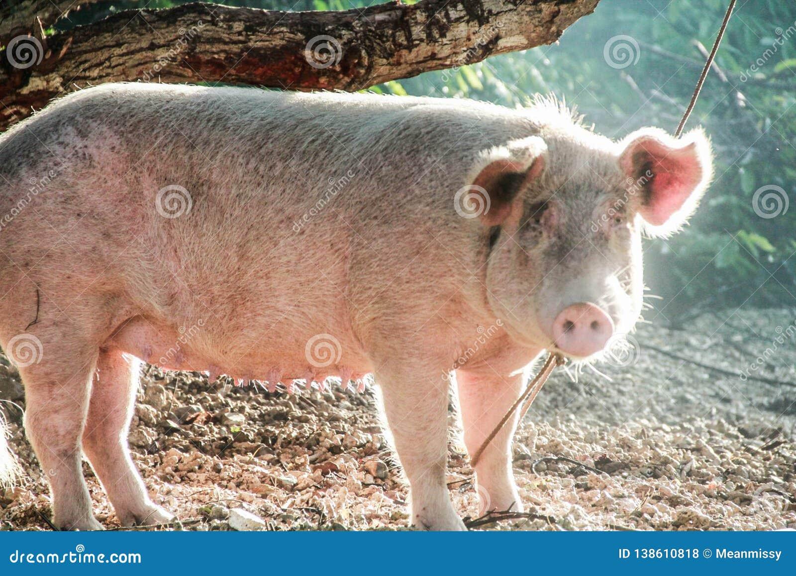 Um porco domesticado amarrado em uma árvore