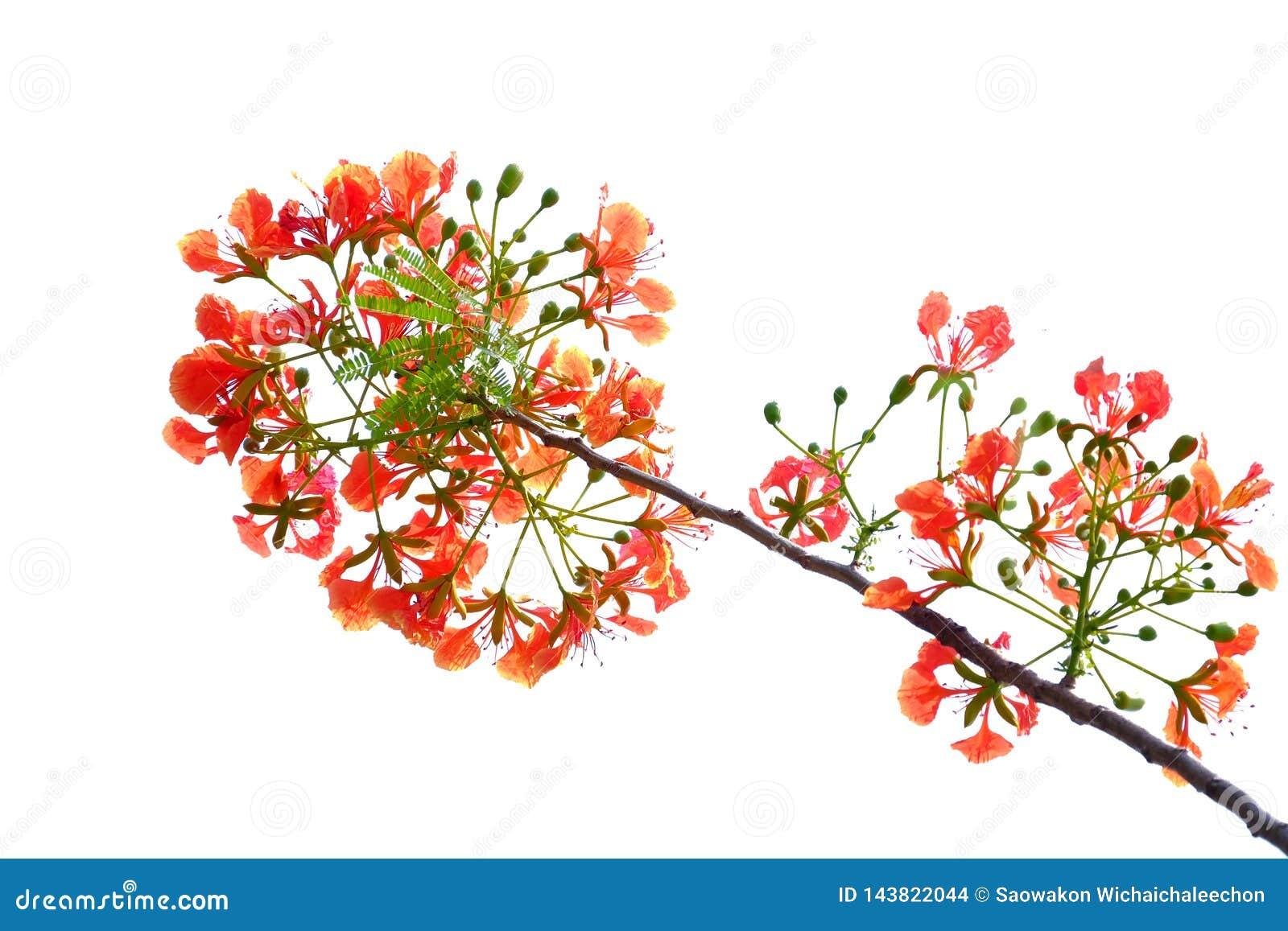 Um ramalhete bonito da flor de pav?o alaranjada no fundo isolado branco