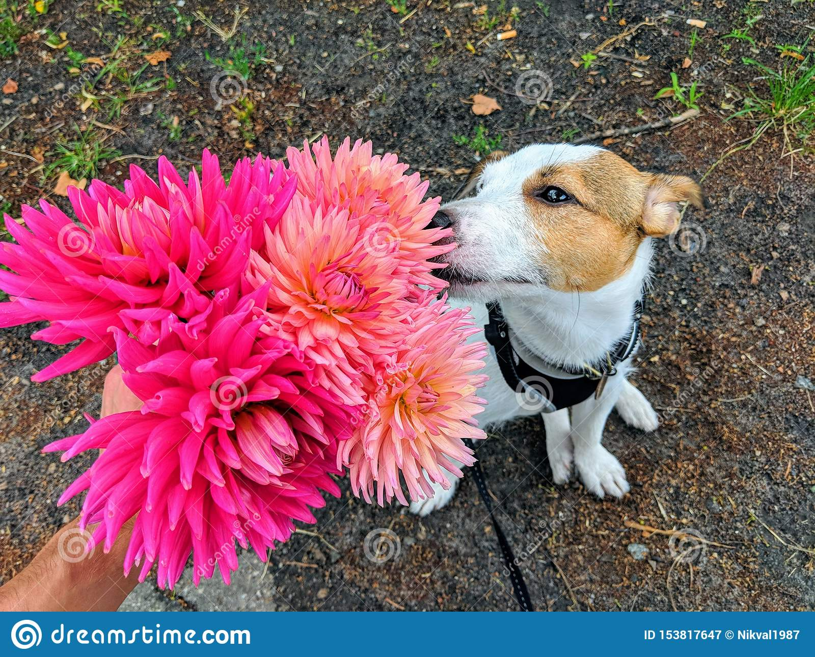 Um ramalhete de dálias cor-de-rosa brilhantes que aspire um cão, raça de Jack Russell Terrier