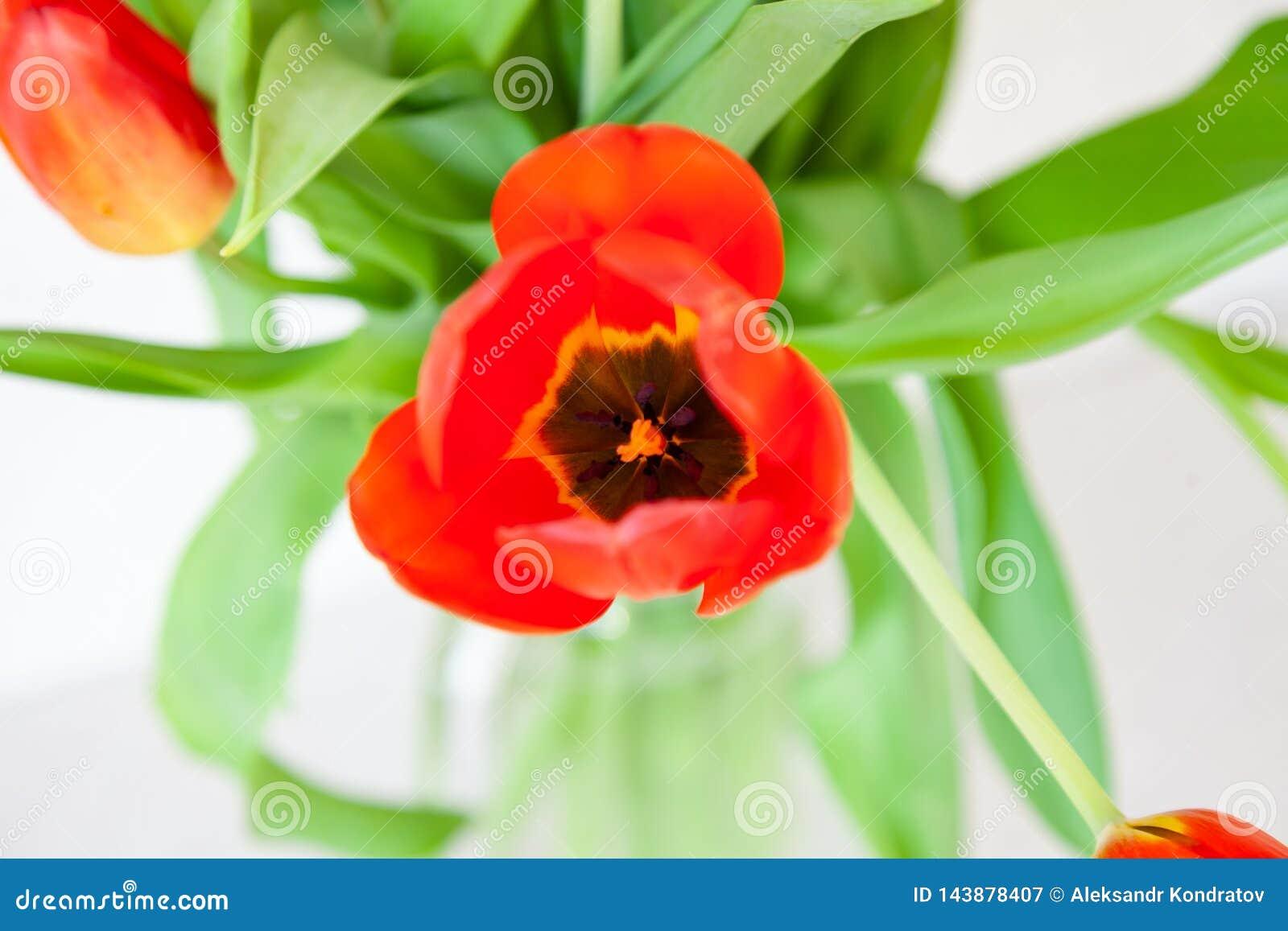 Um ramalhete de uma opinião superior do close-up da tulipa de vermelho e de roxo com folhas verdes em um fundo branco