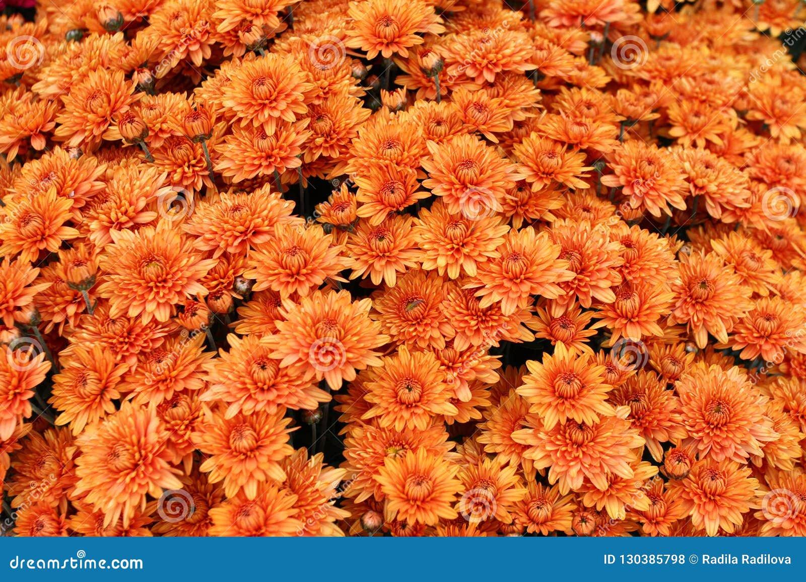 Um ramalhete do crisântemo bonito floresce fora Crisântemos no jardim Chrisanthemum colorido da flor Teste padrão floral