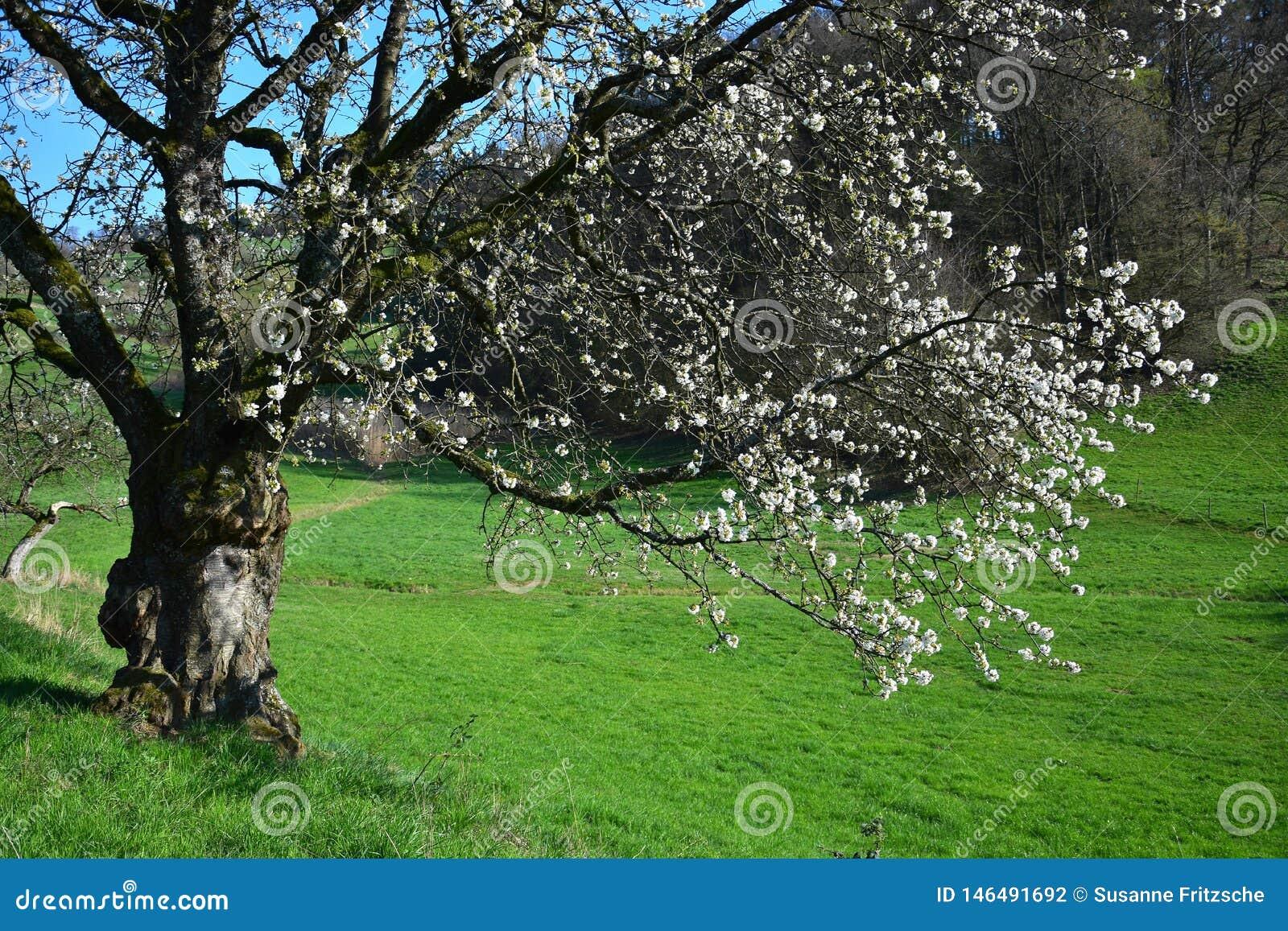 Um ramo branco-florescido de uma ?rvore na primavera adiantada no Odenwald, Alemanha