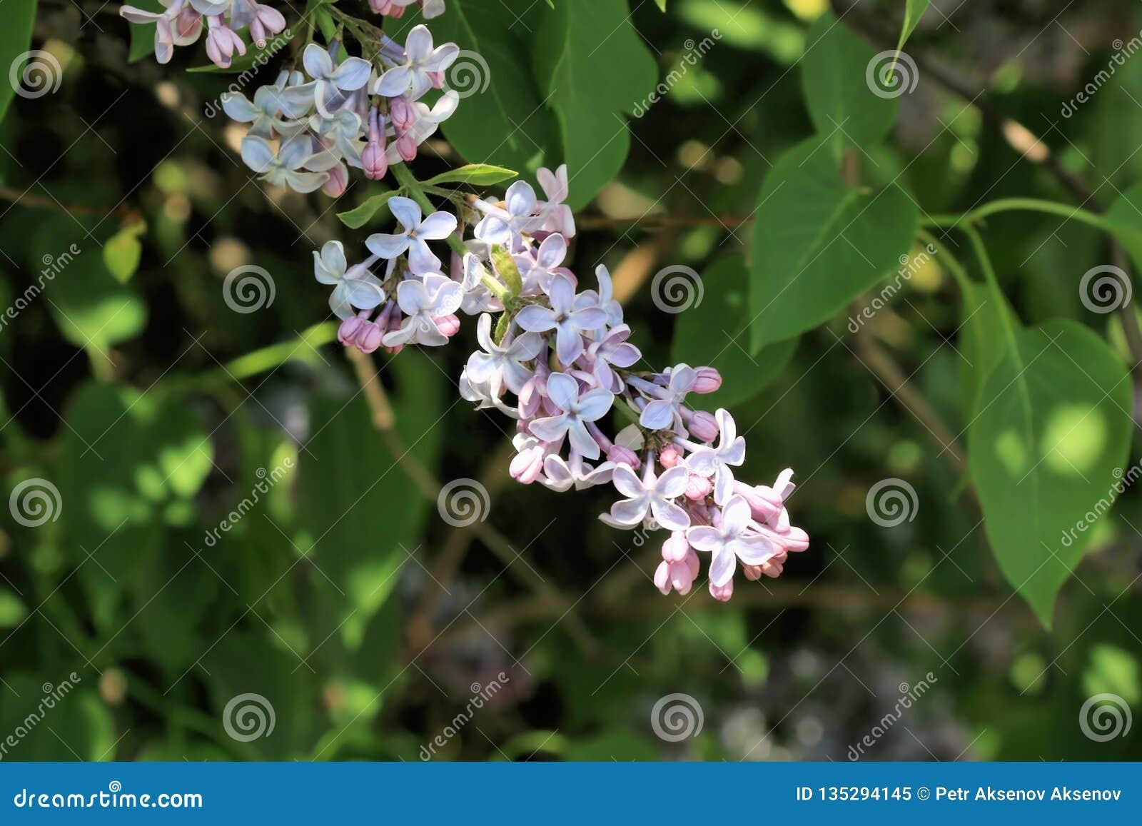 Um ramo do lilás no esforço para sua vida e a planta inteira