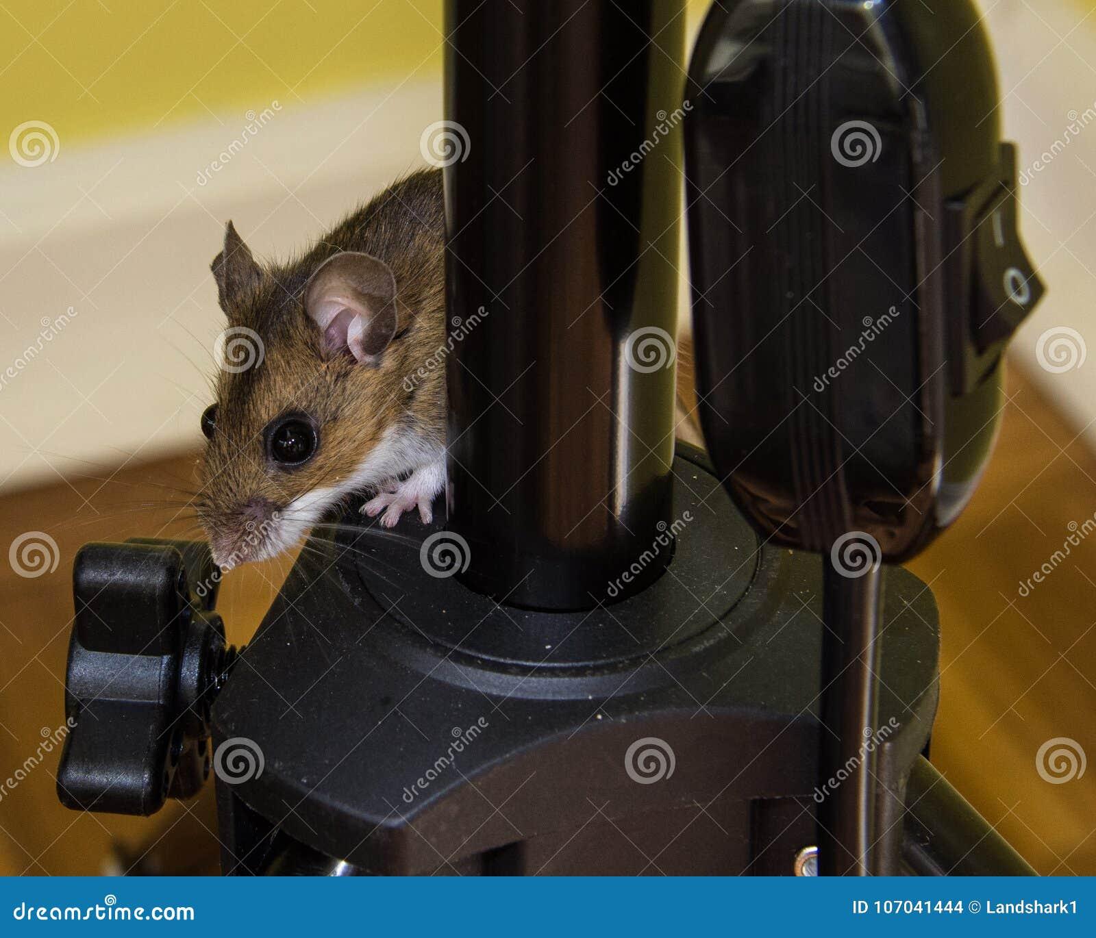 Um rato de casa marrom assustado, musculus de Mus, escalando na instrumentação preta