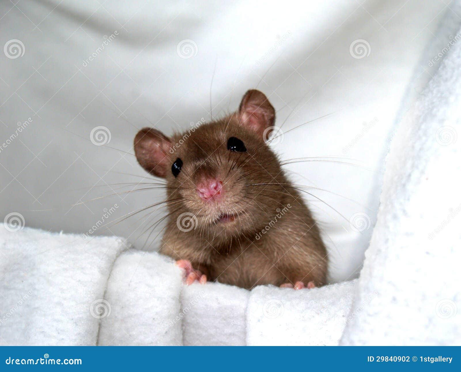 Rato (15)