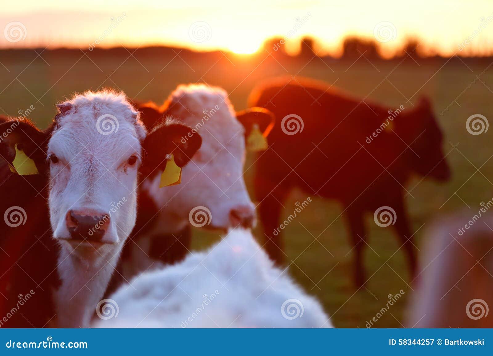Um rebanho das vacas na pista do prado no oeste da Irlanda