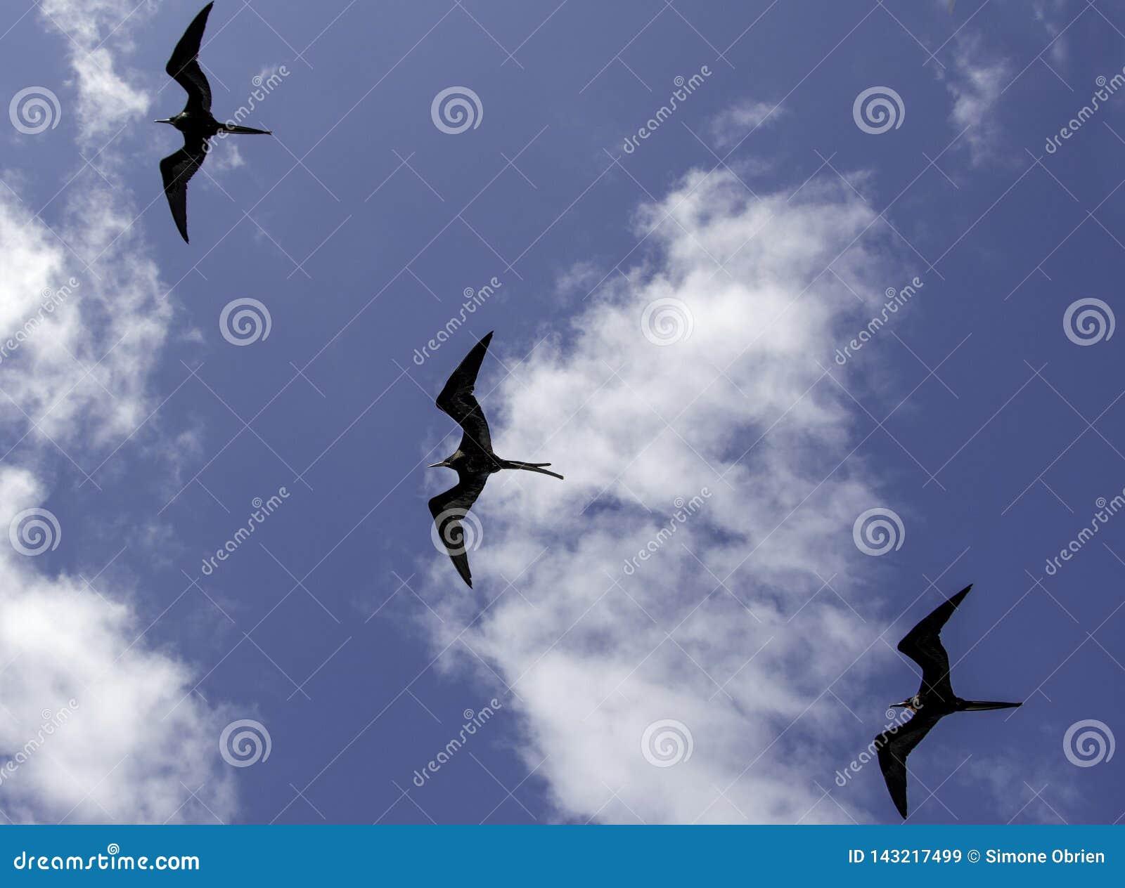 Um rebanho de fragatas de Galápagos
