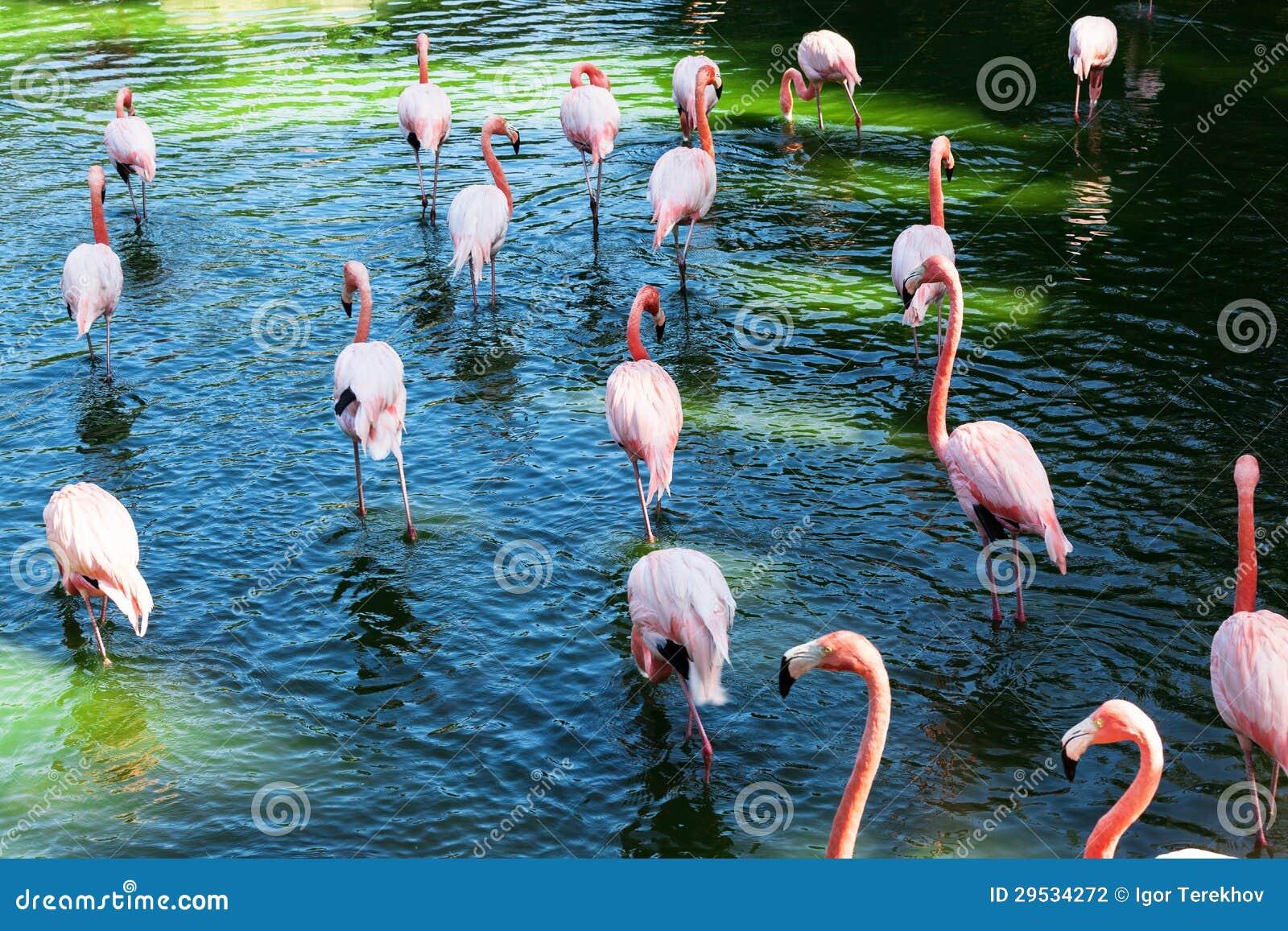Um rebanho dos flamingos