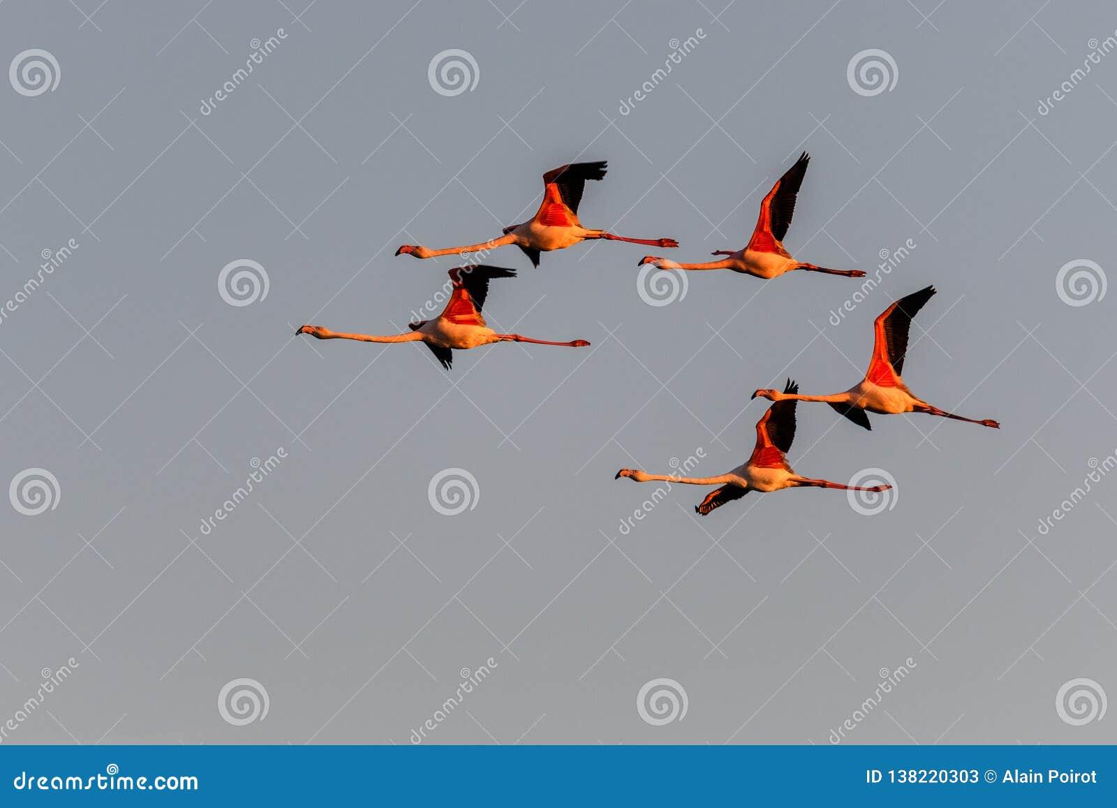 Um rebanho dos flamingos em voo