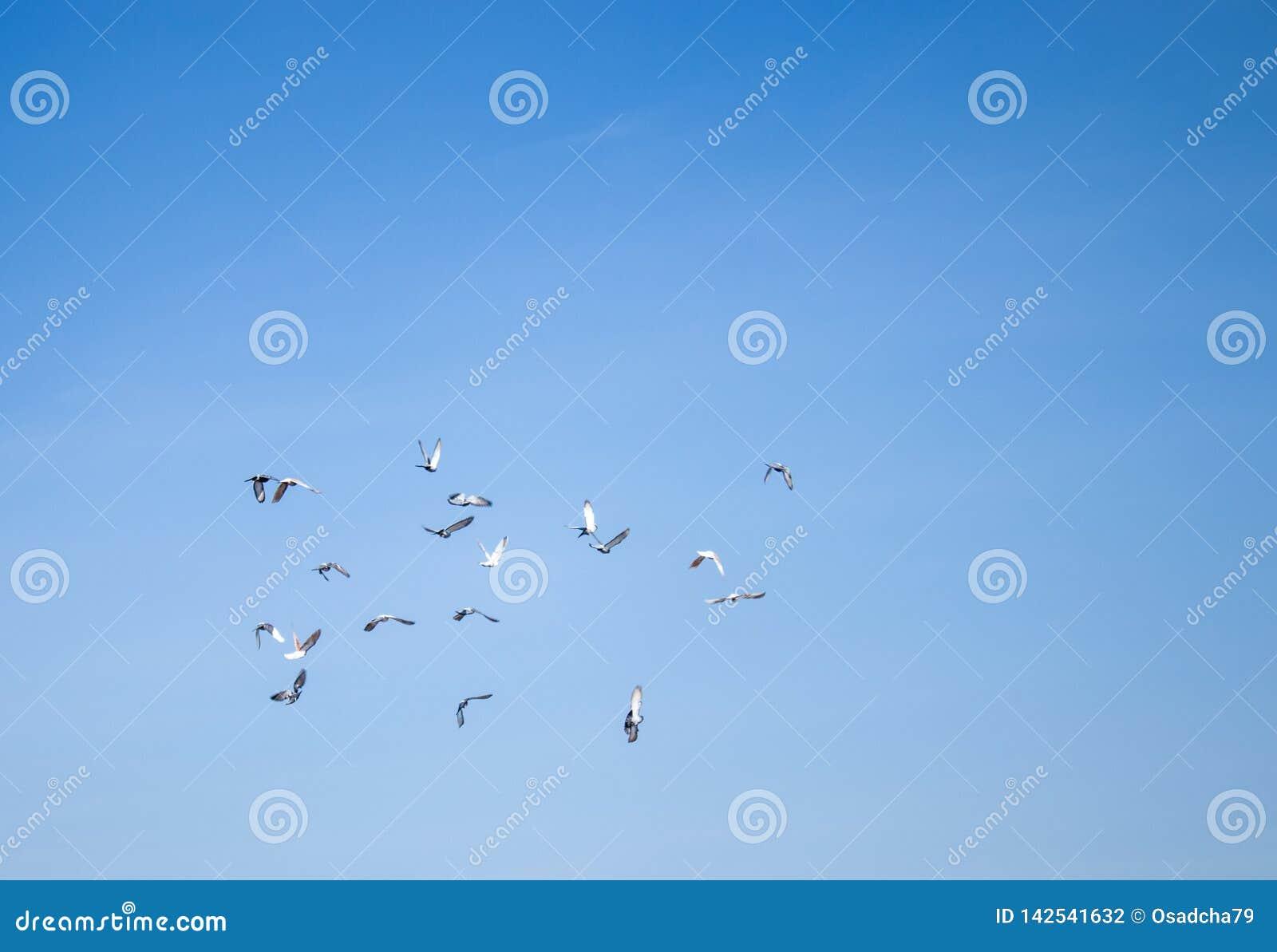 Um rebanho dos pombos que voam nas nuvens Os pombos subiram ao céu azul