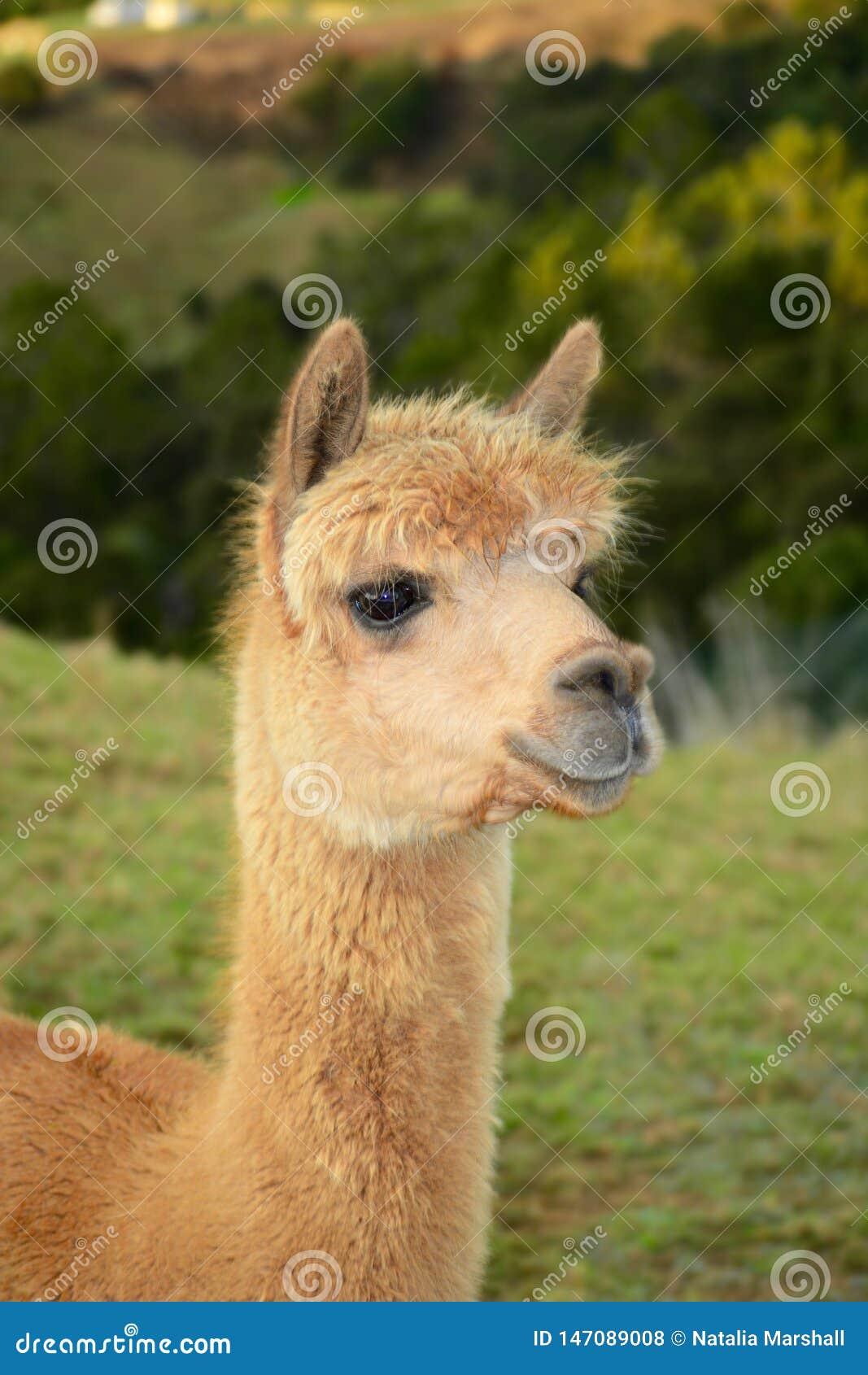 Um retrato de pacos de um Vicugna da alpaca, levantando para a foto Esta ? uma esp?cie de sul - camelid americano