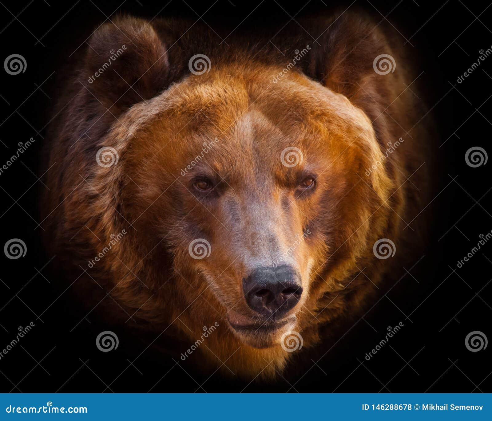 Um retrato de um urso enorme no quadro inteiro, o animal ? enorme e iluminado pelo sol Isolado no fundo preto