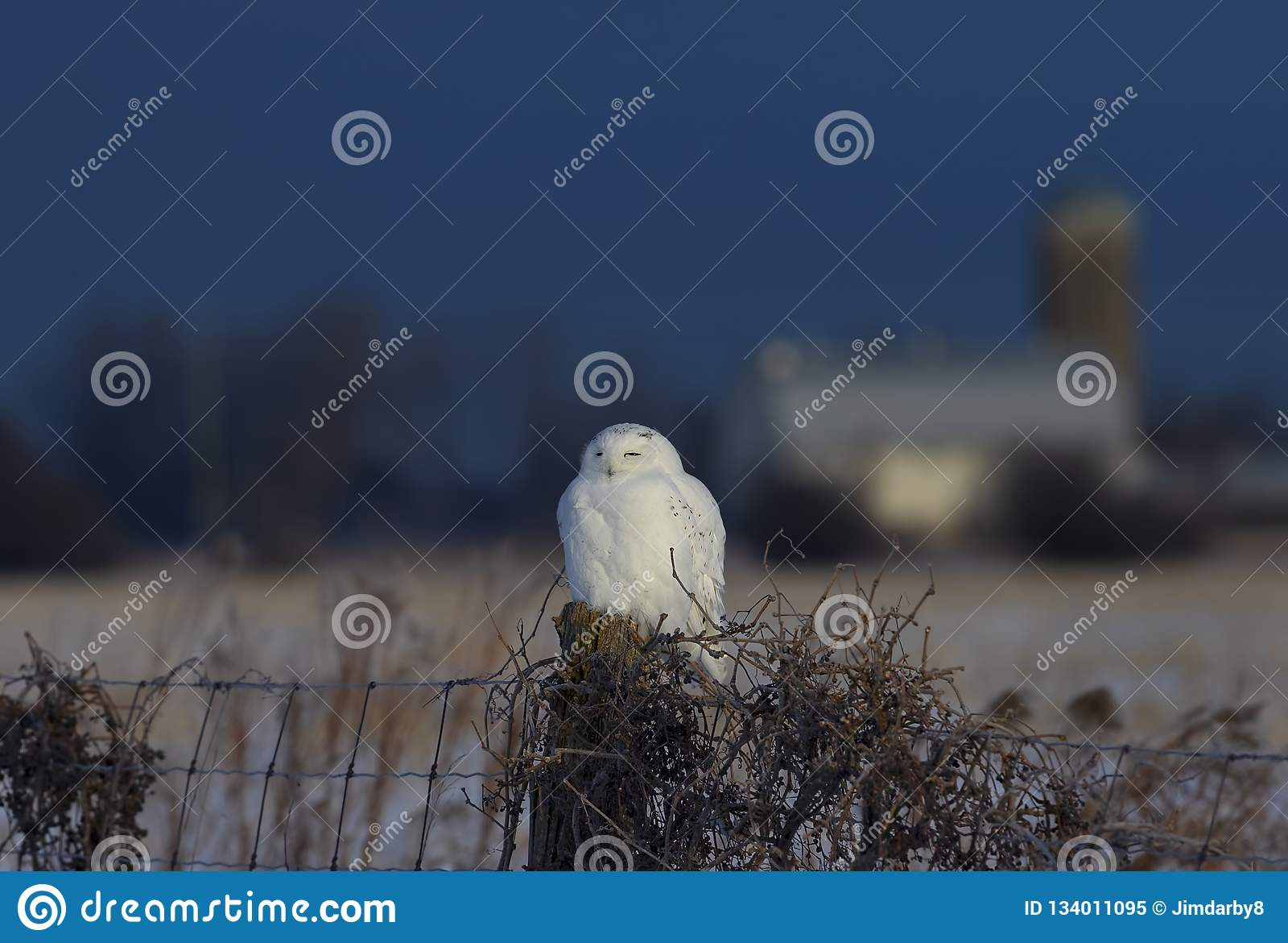 Um scandiacus nevado masculino do bubão da coruja empoleirado em um cargo de madeira com um celeiro na distância no inverno em Ot