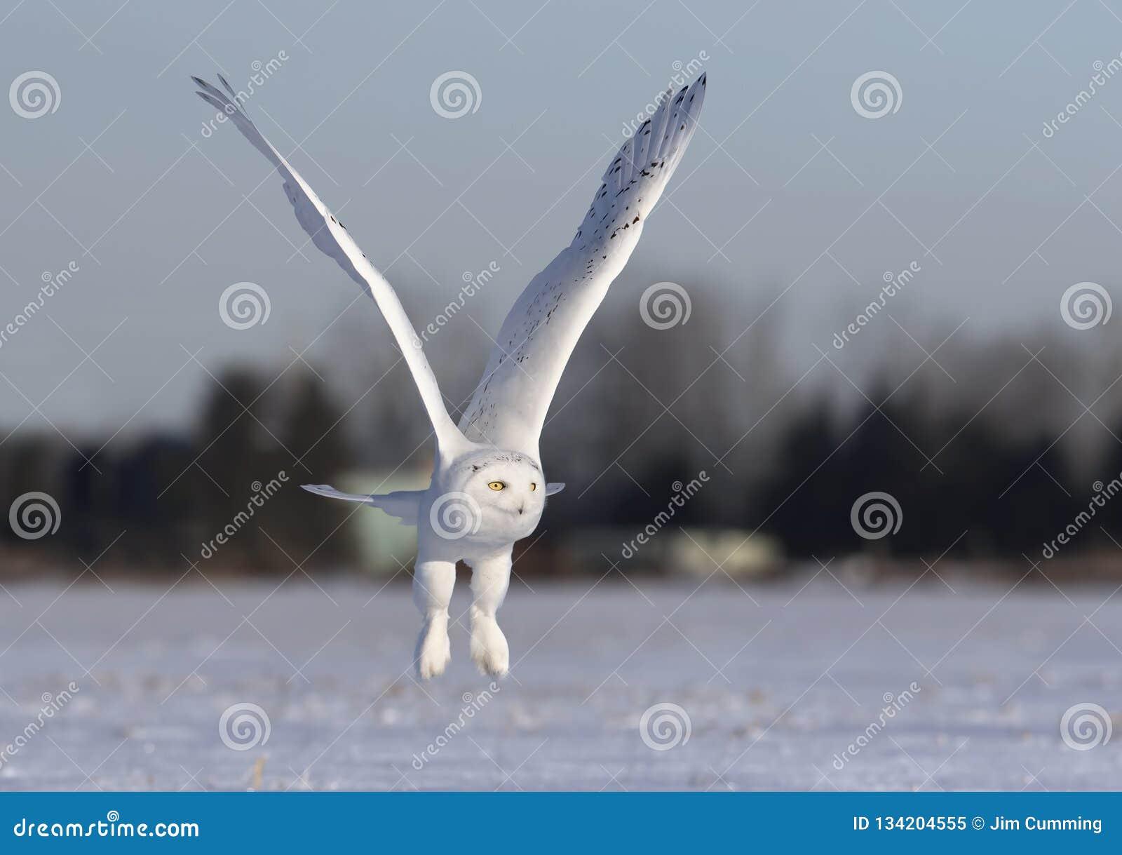 Um scandiacus nevado masculino do bubão da coruja voa a baixa caça sobre um campo de milho nevado ensolarado aberto em Ottawa, Ca