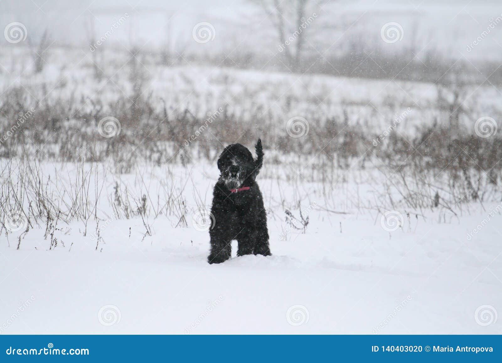 Um schnauzer gigante novo está em um campo no inverno É posição e olhares tensos no fotógrafo