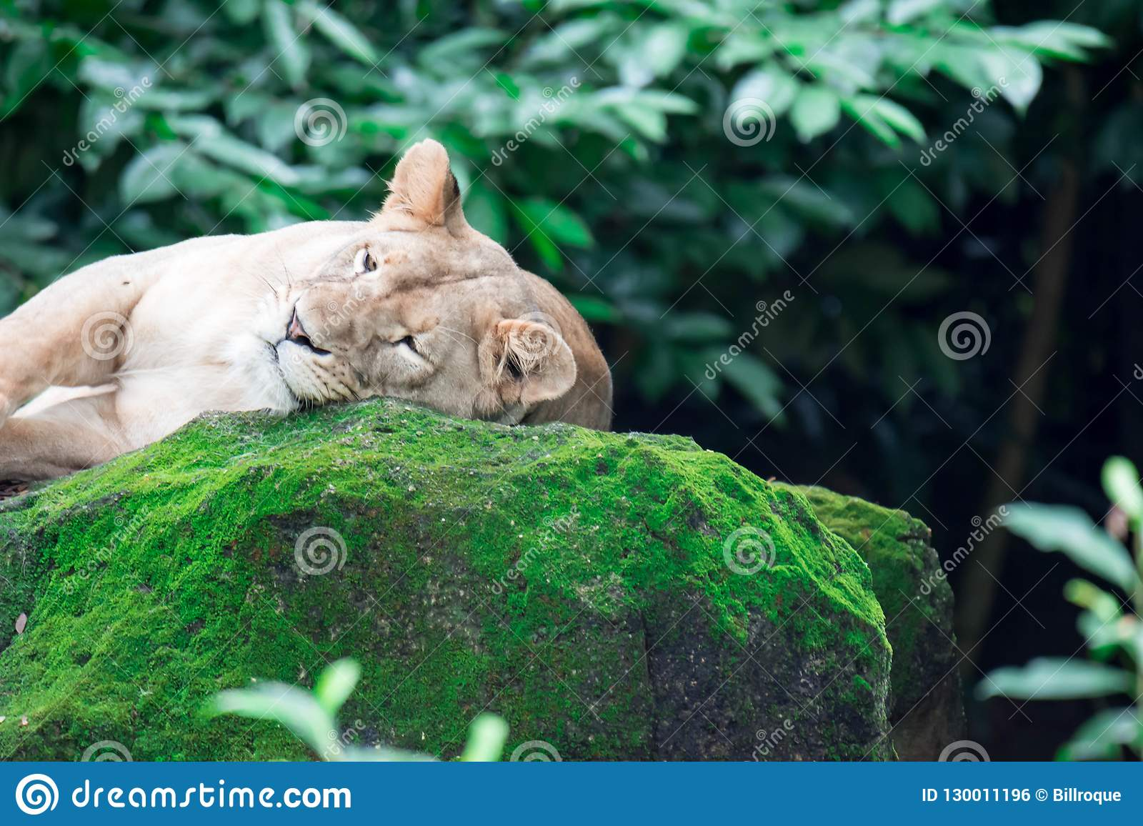Um tiro do close up de um leão ou de uma leoa fêmea ao descansar em umas FO