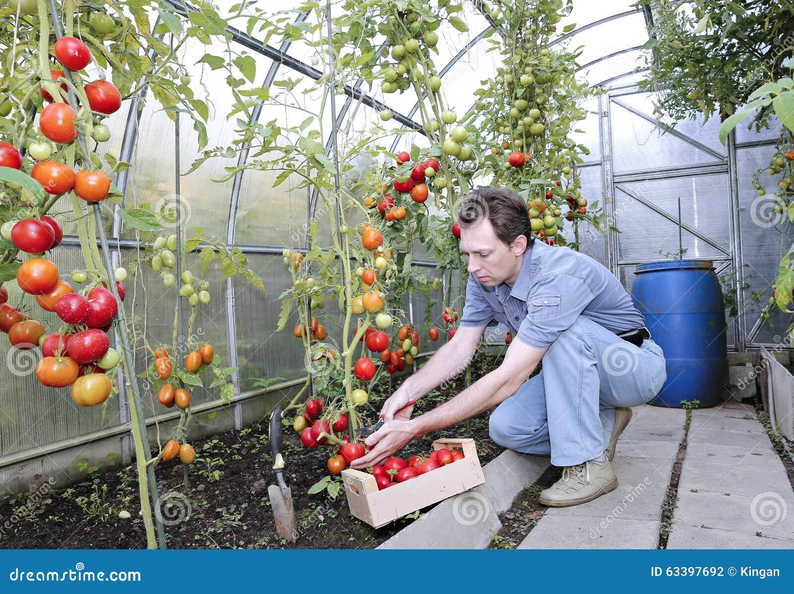 Um trabalhador colhe de tomates maduros vermelhos em uma - Foto estufa ...