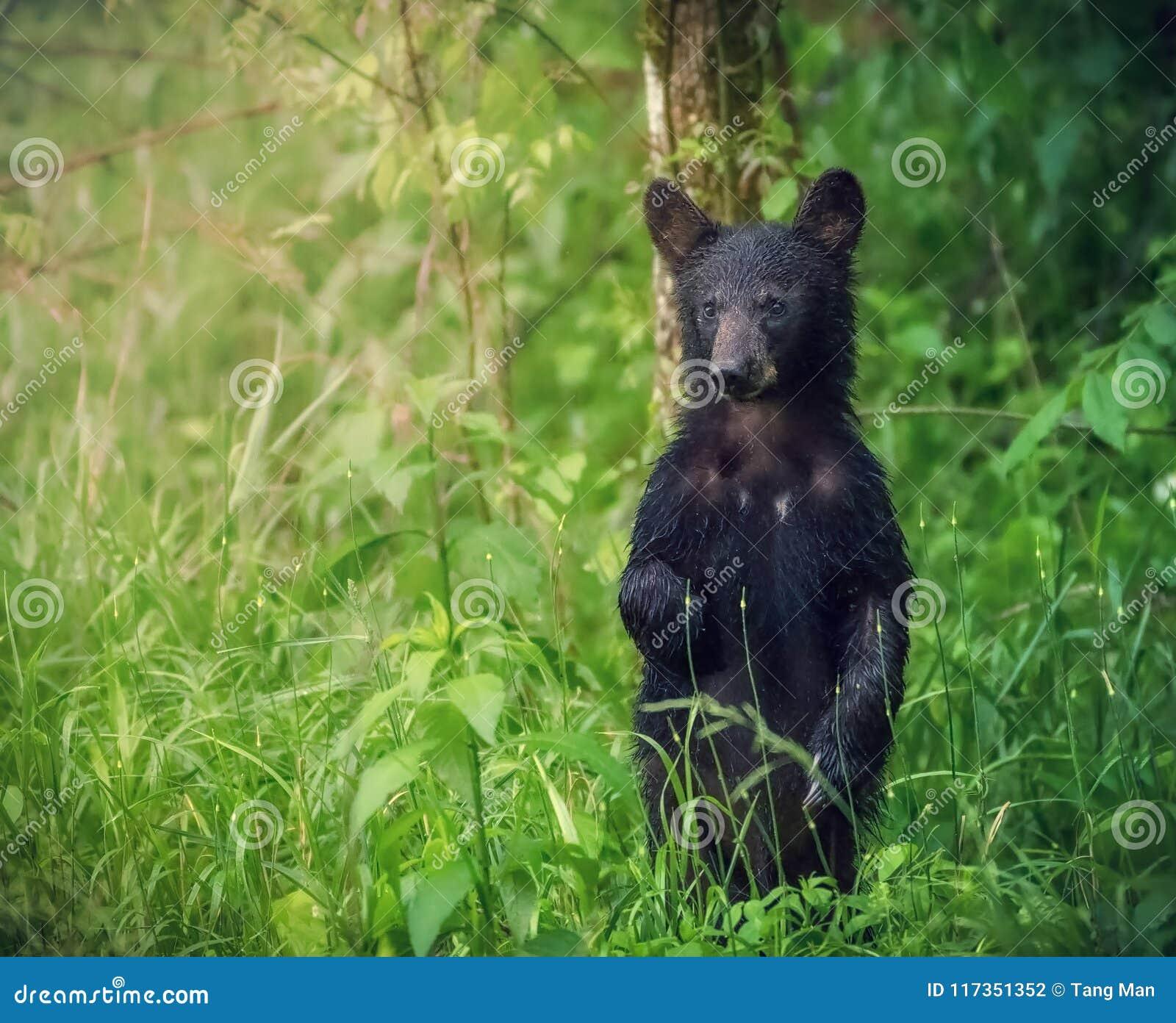 Um urso preto americano está e olha os turistas no parque nacional de Great Smoky Mountains