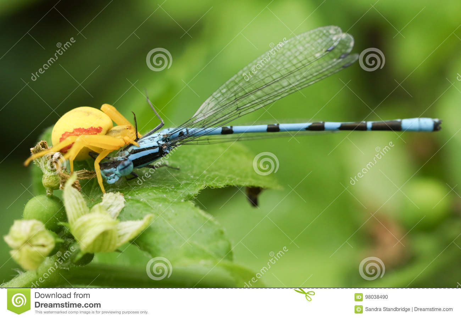Um vatia amarelo de Misumena da aranha do caranguejo que come um cyathigerum azul comum de Enallagma do Damselfly