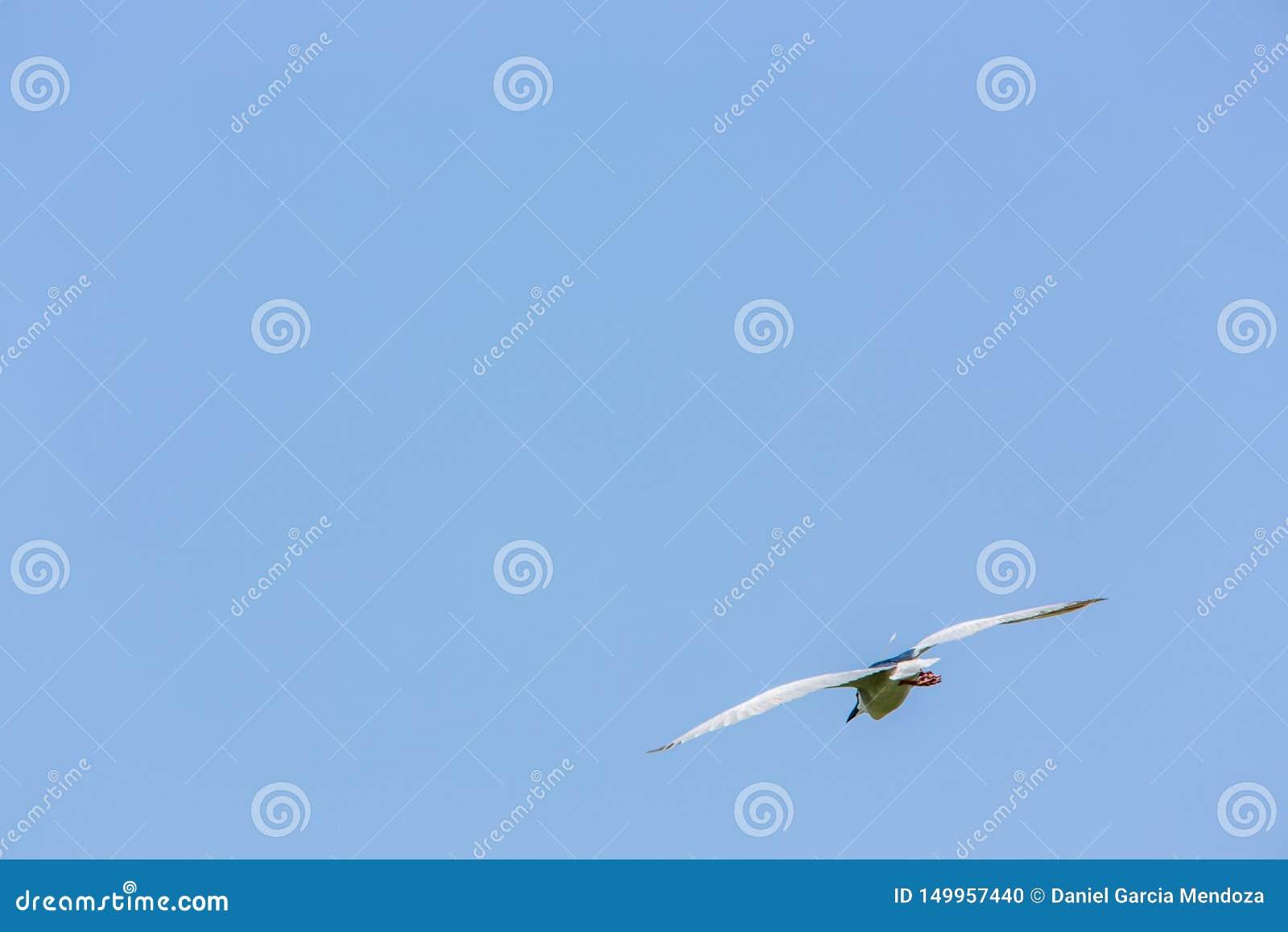 Um voo adulto do Nycticorax do Nycticorax do pássaro em um dia ensolarado com o céu azul em Taiwan
