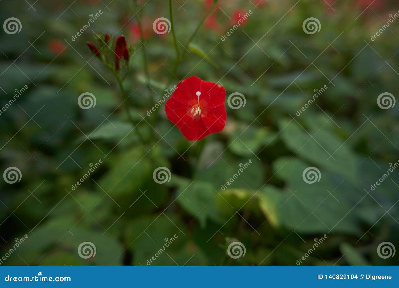 Um Wildflower vermelho florescido com botões