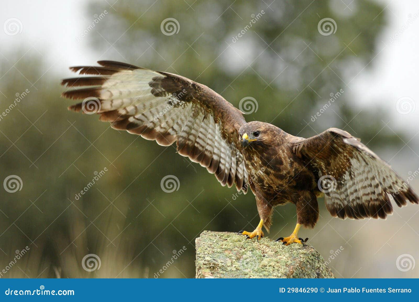 águia do buzzard com as asas abertas na rocha