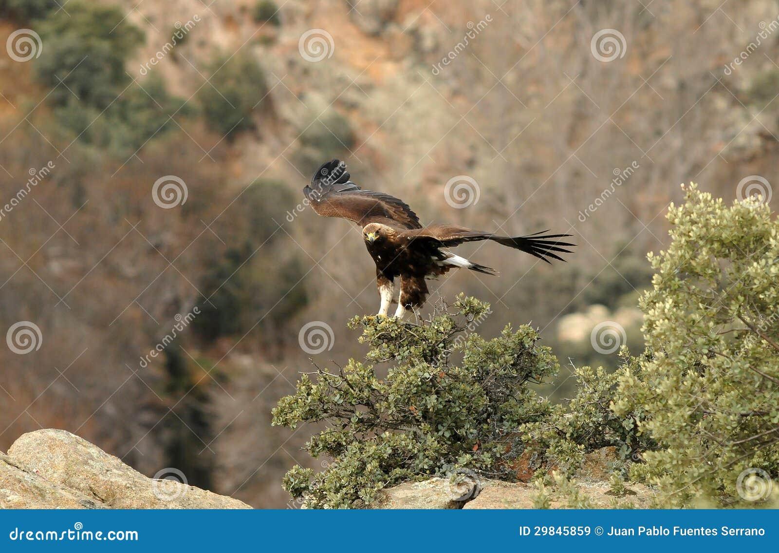 Uma águia dourada
