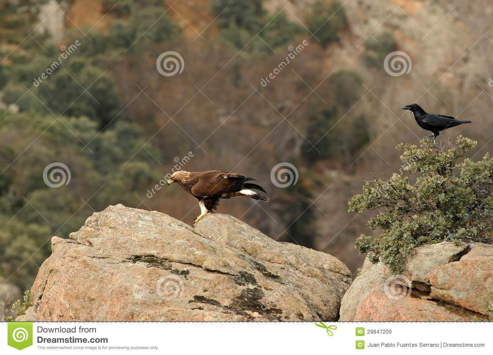 águia e um corvo nas rochas nas montanhas de Avila