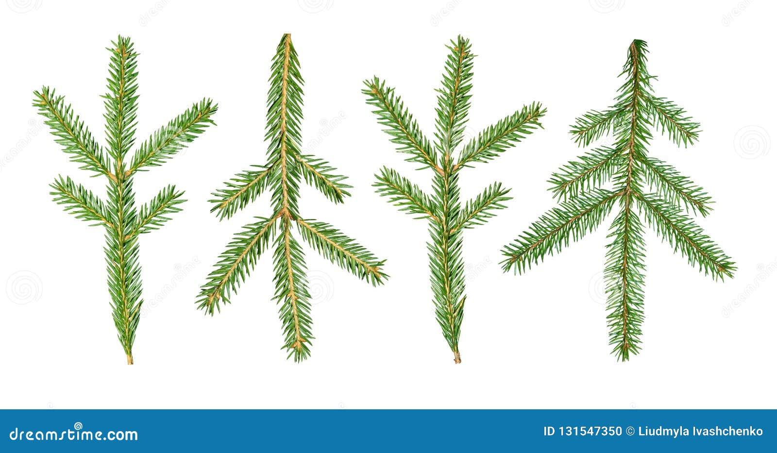 Uma árvore de abeto Abies o ramo do sibirica é isolada em um fundo branco