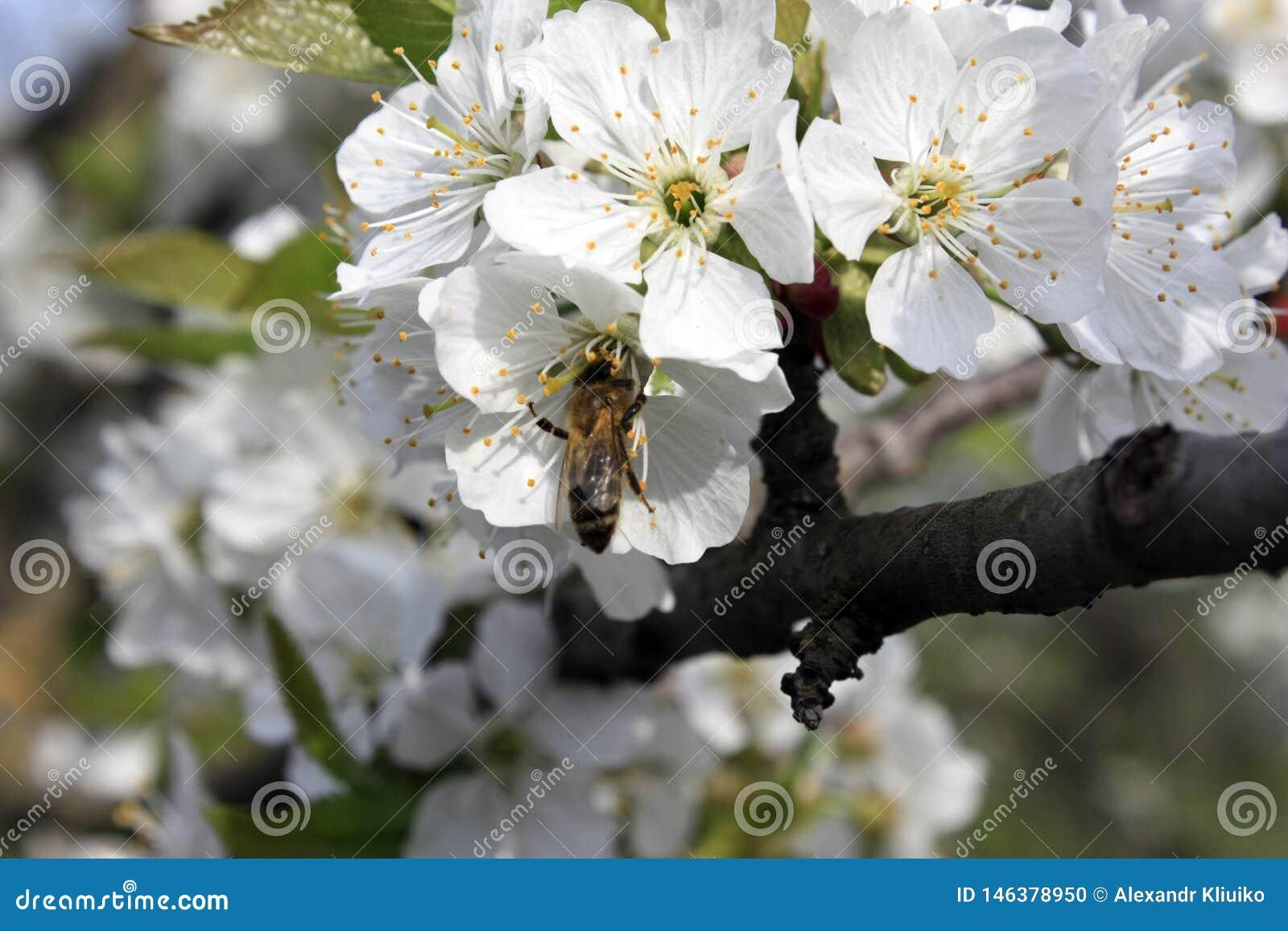 Uma árvore de fruto de florescência com uma abelha em uma flor branco-cor-de-rosa Fundo borrado, dia de mola ensolarado claro Fot