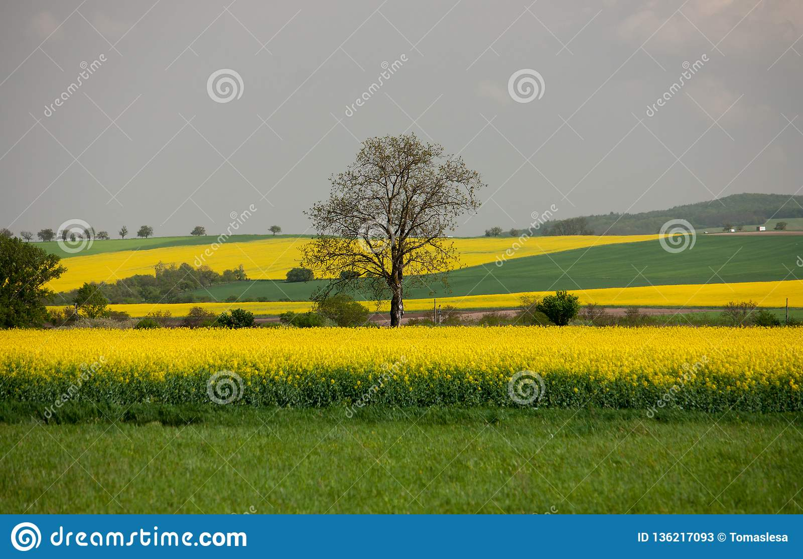 Uma árvore só nos campos do Canola em Eslováquia