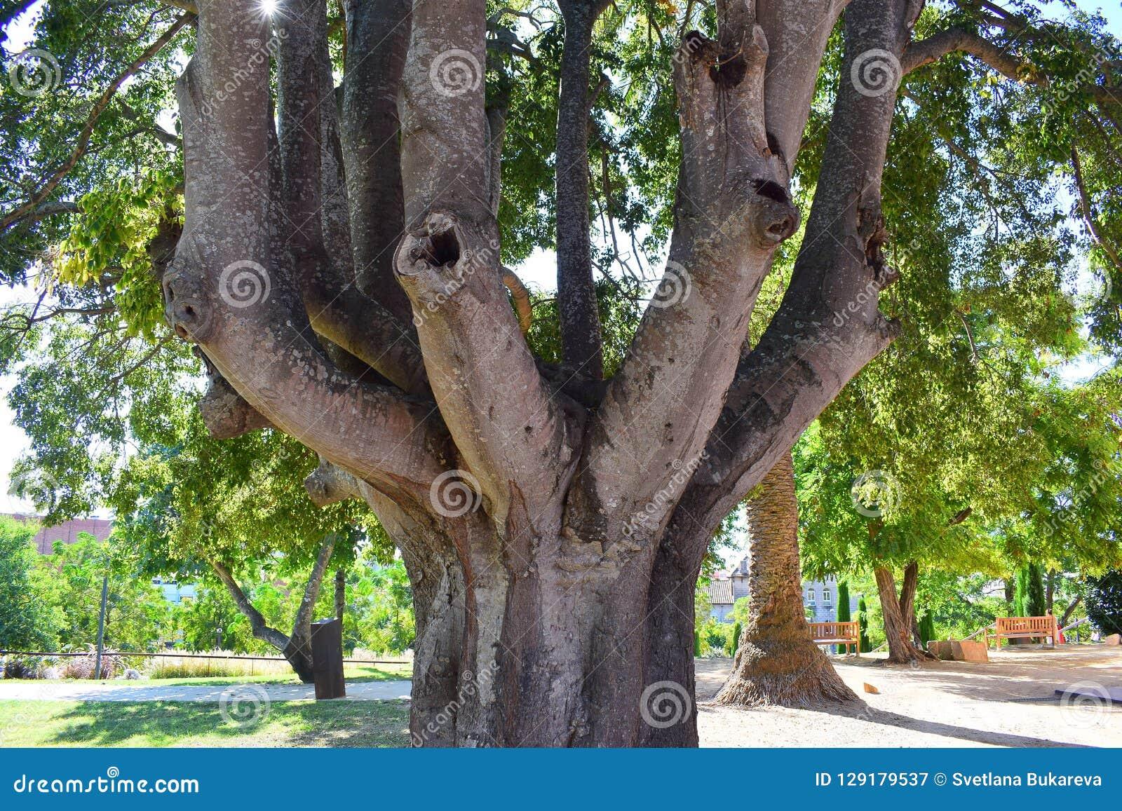 Uma árvore surpreendente com diversos troncos cresce no parque