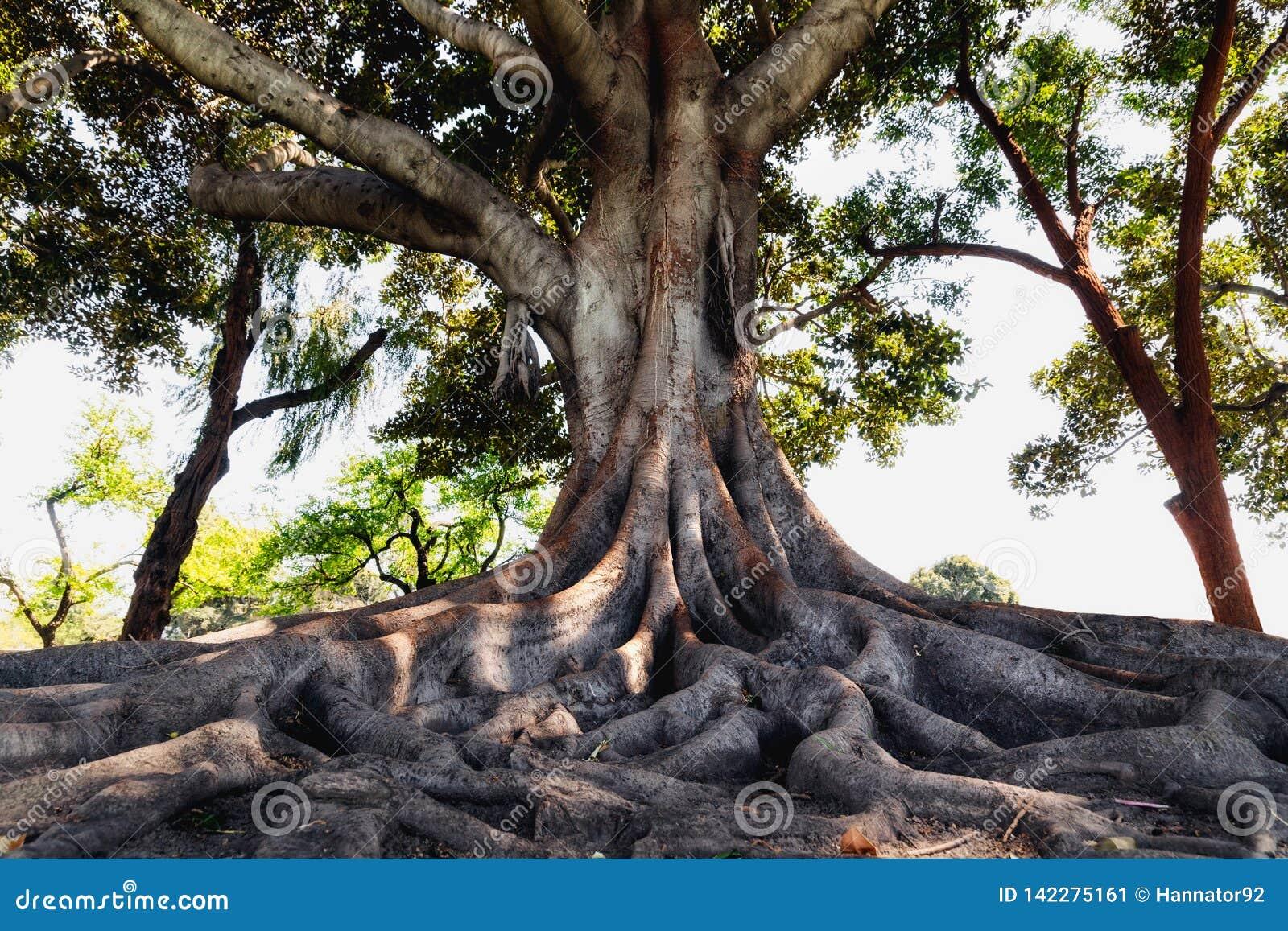 Uma árvore velha com raizes grandes, Los Angeles, Califórnia