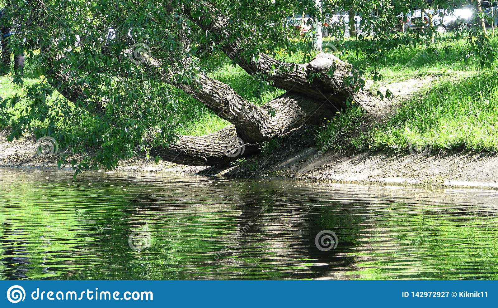 Uma árvore velha no banco do canal da cidade
