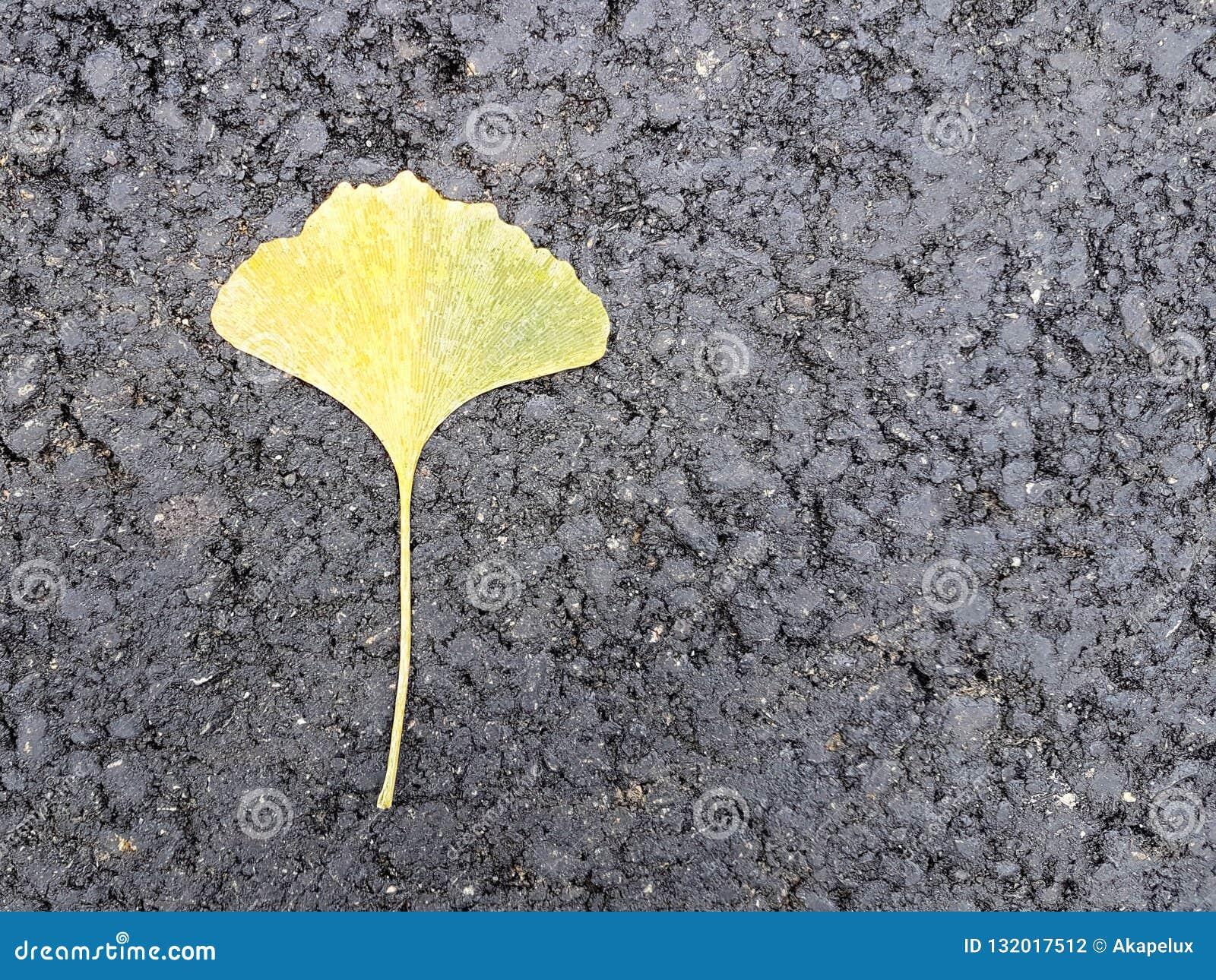 Uma única folha amarelada de Gingobiloba encontra-se no asfalto preto novo Folhas caídas outono Flora japonesa em um fundo preto