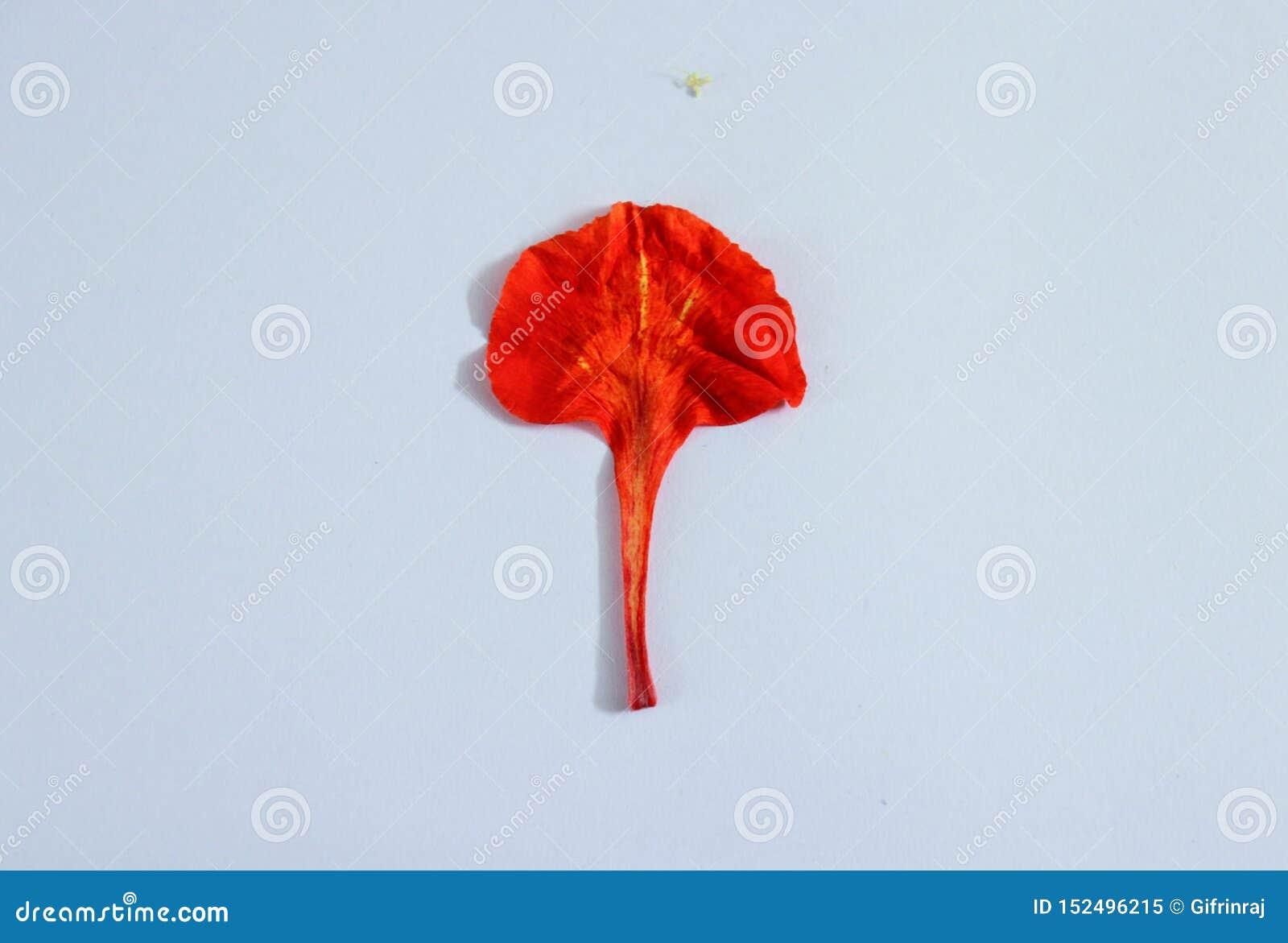 Uma única pétala vermelha no fundo branco
