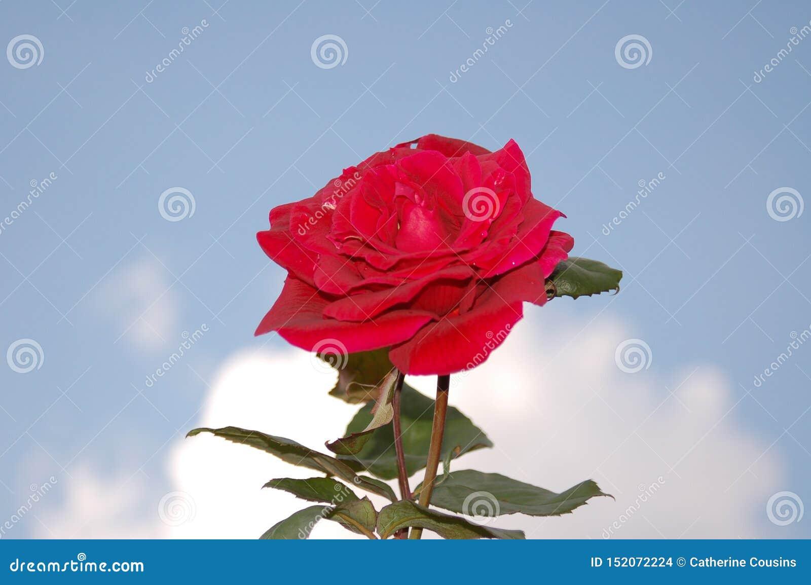 Uma única rosa no céu