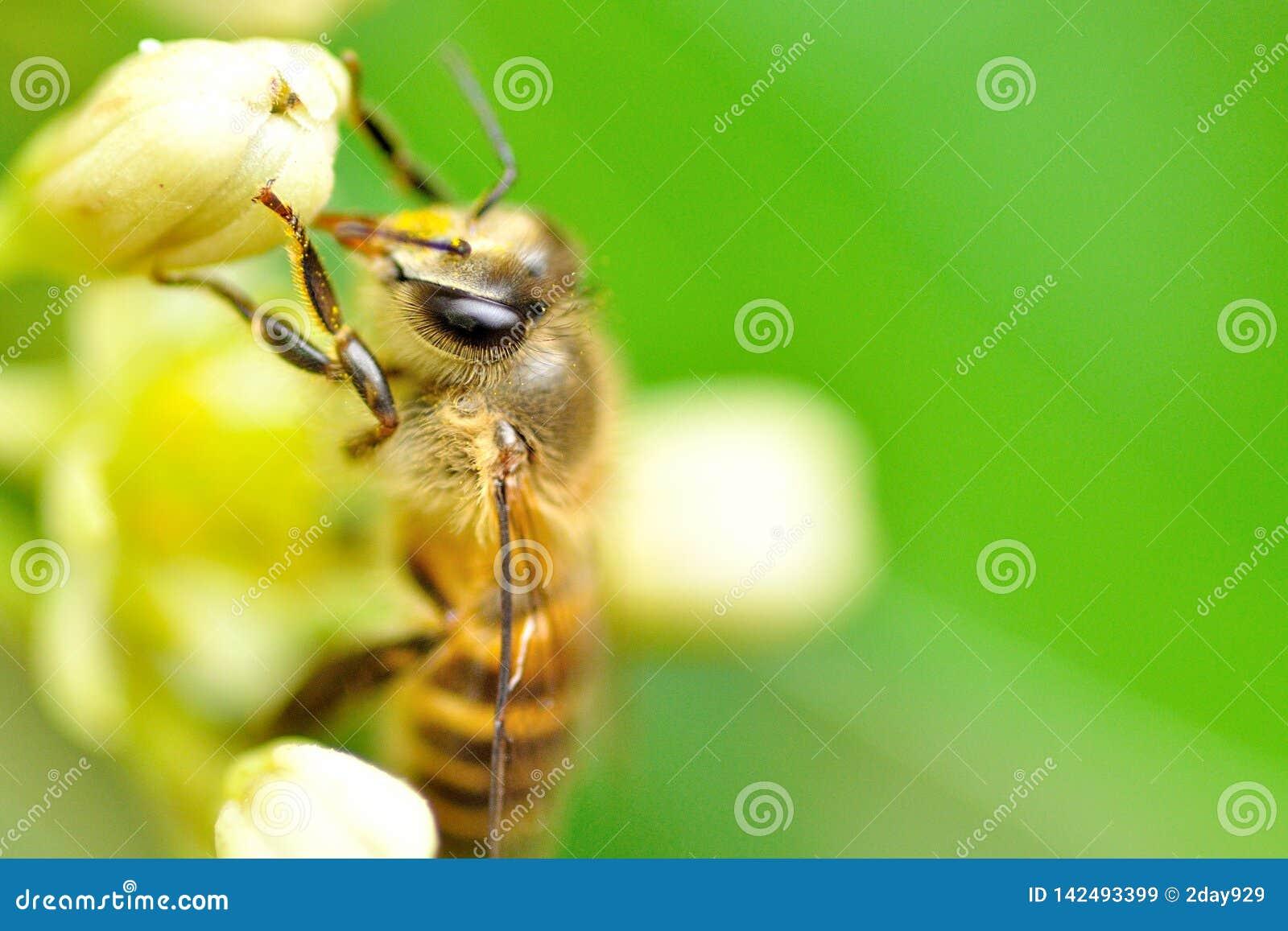 Uma abelha do mel